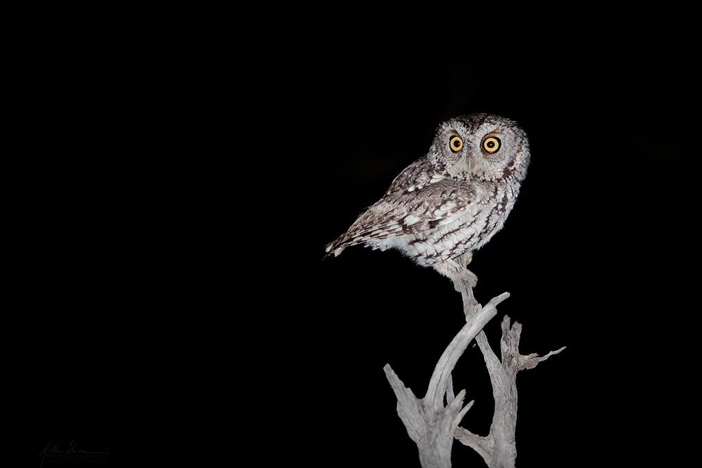 whiskered_screech_owl_IMG_8797w10.jpg