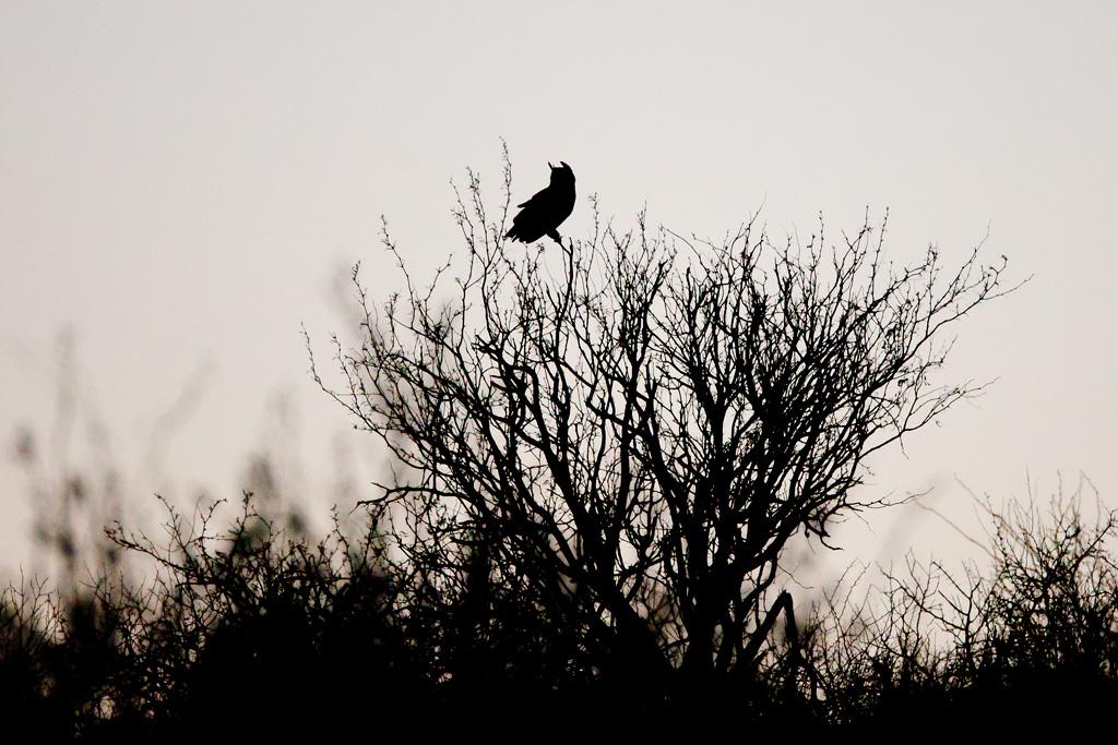 great-horned_owl_8281w10.jpg