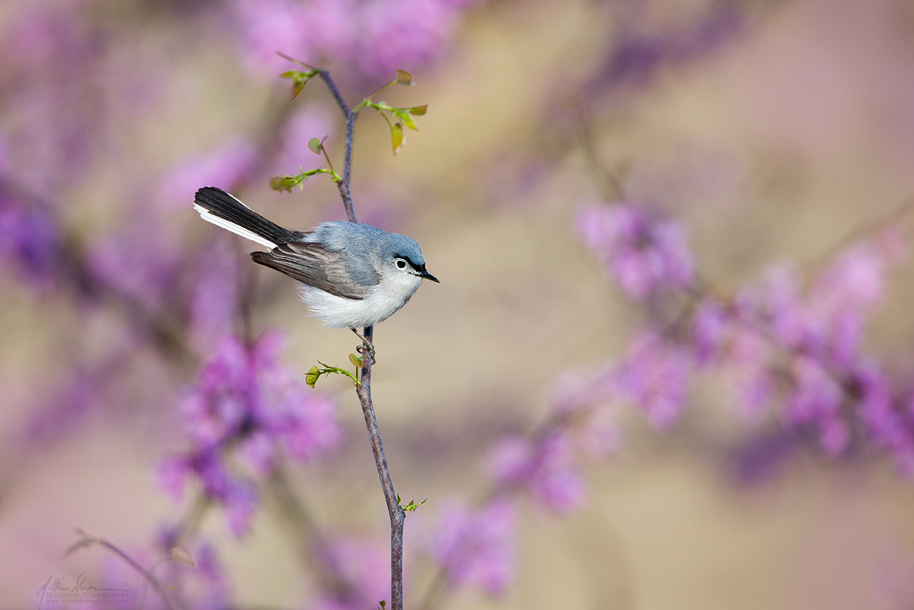 blue-gray_gnatcatcher_MG_8571w10.jpg