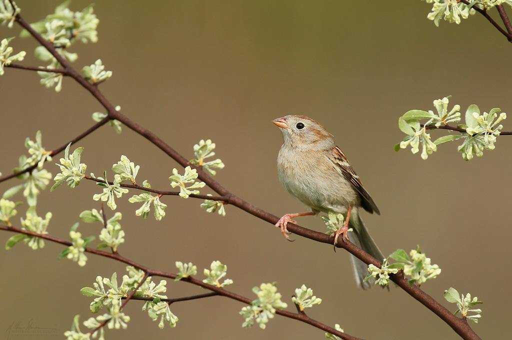 field_sparrow_EI8C0303885w10.jpg