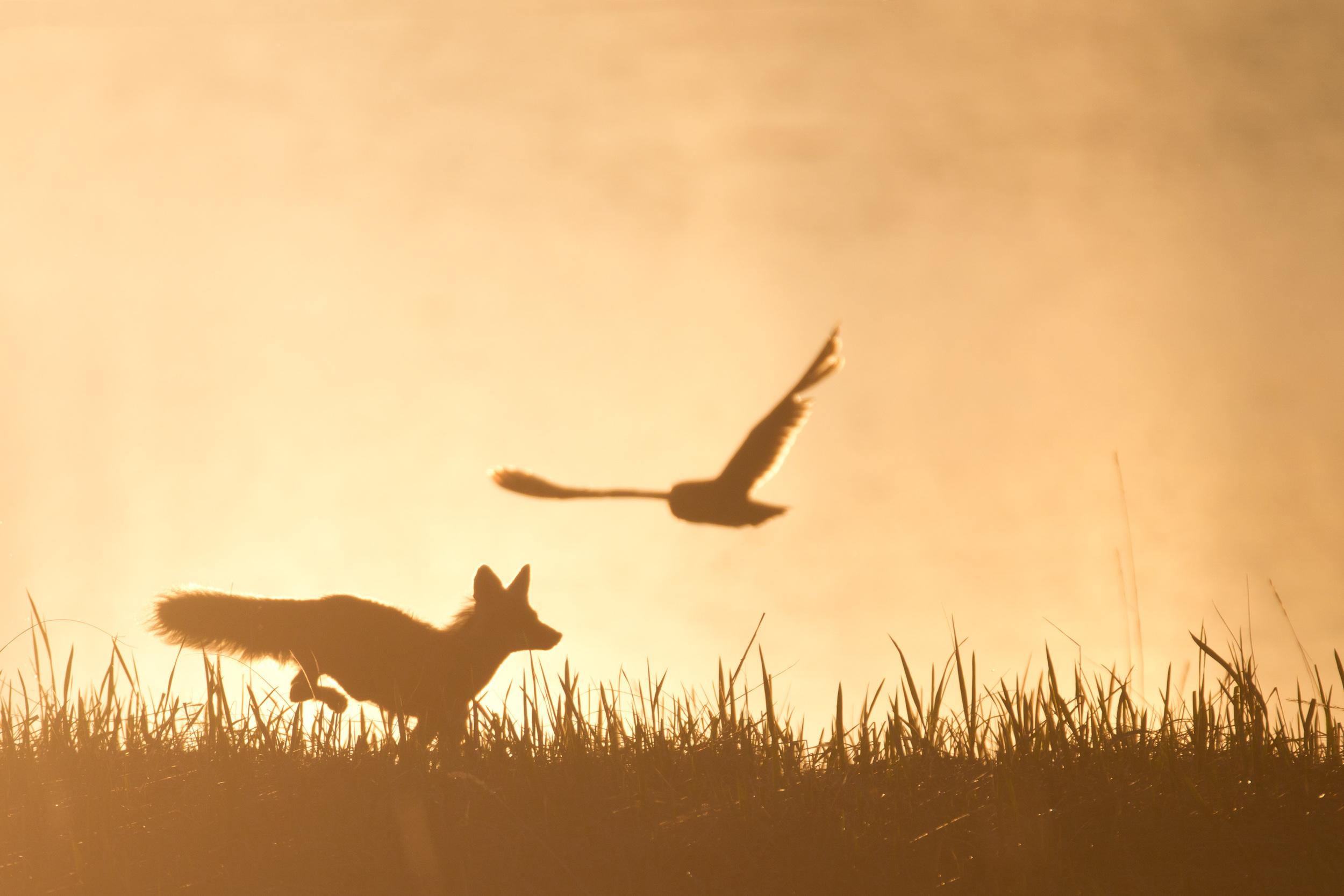 red_fox_seo_00440715b.jpg