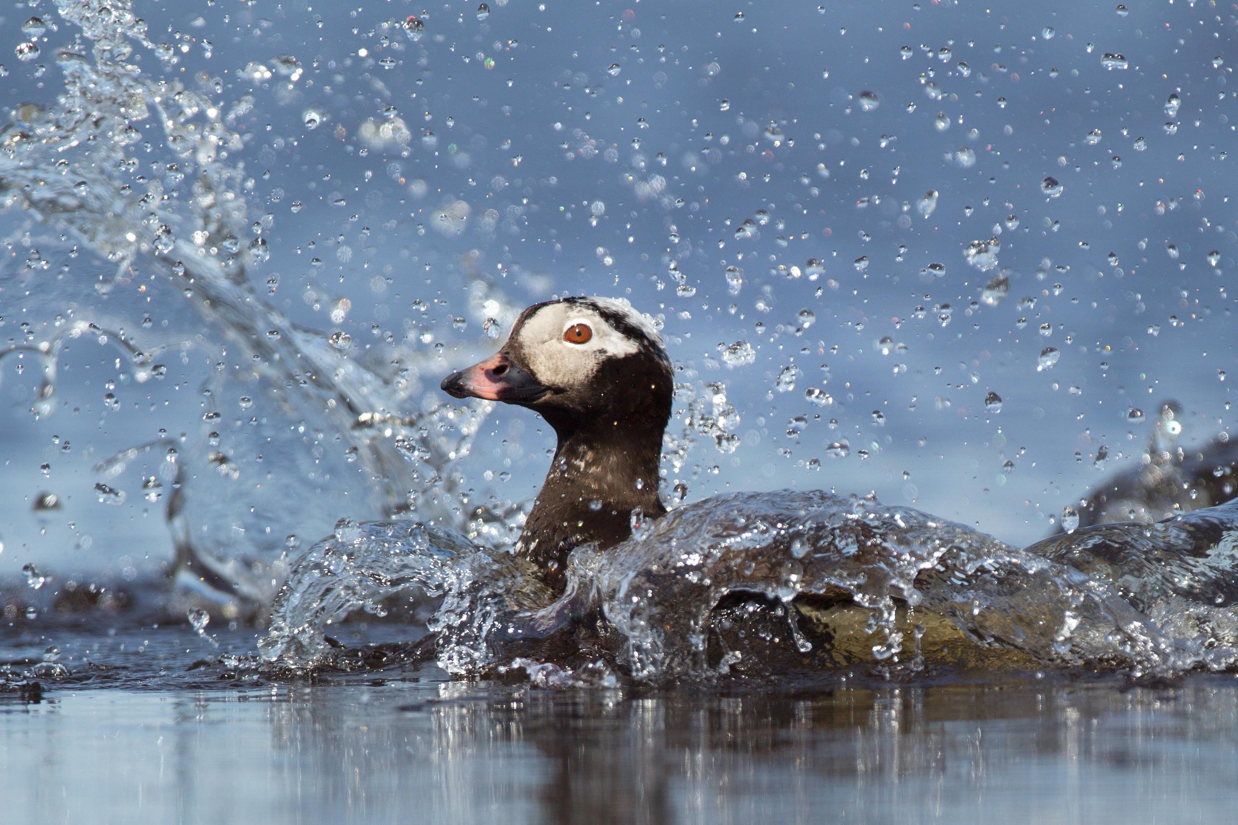 long-tailed_duck_0040000b.jpg