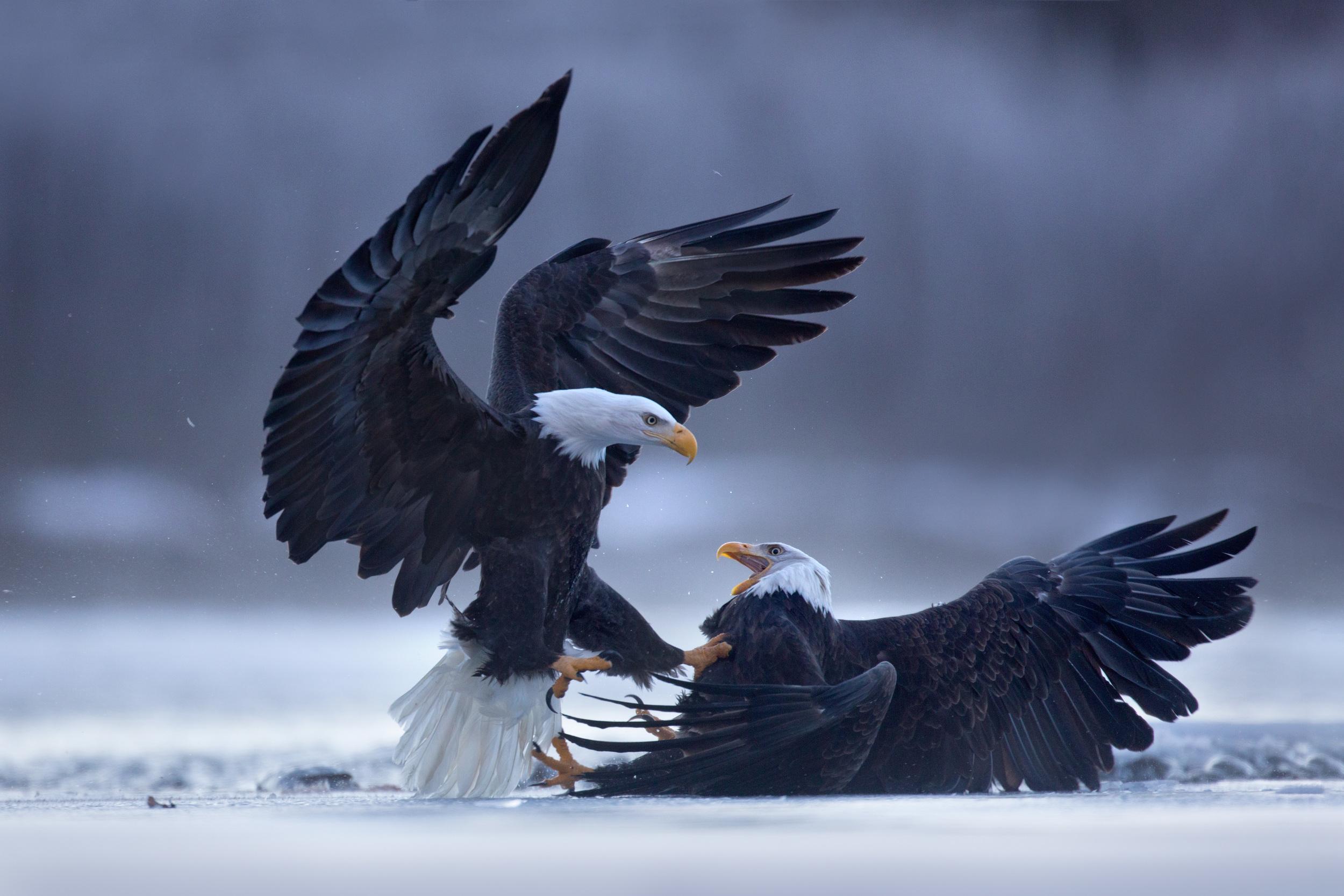 bald_eagle_00503764b.jpg