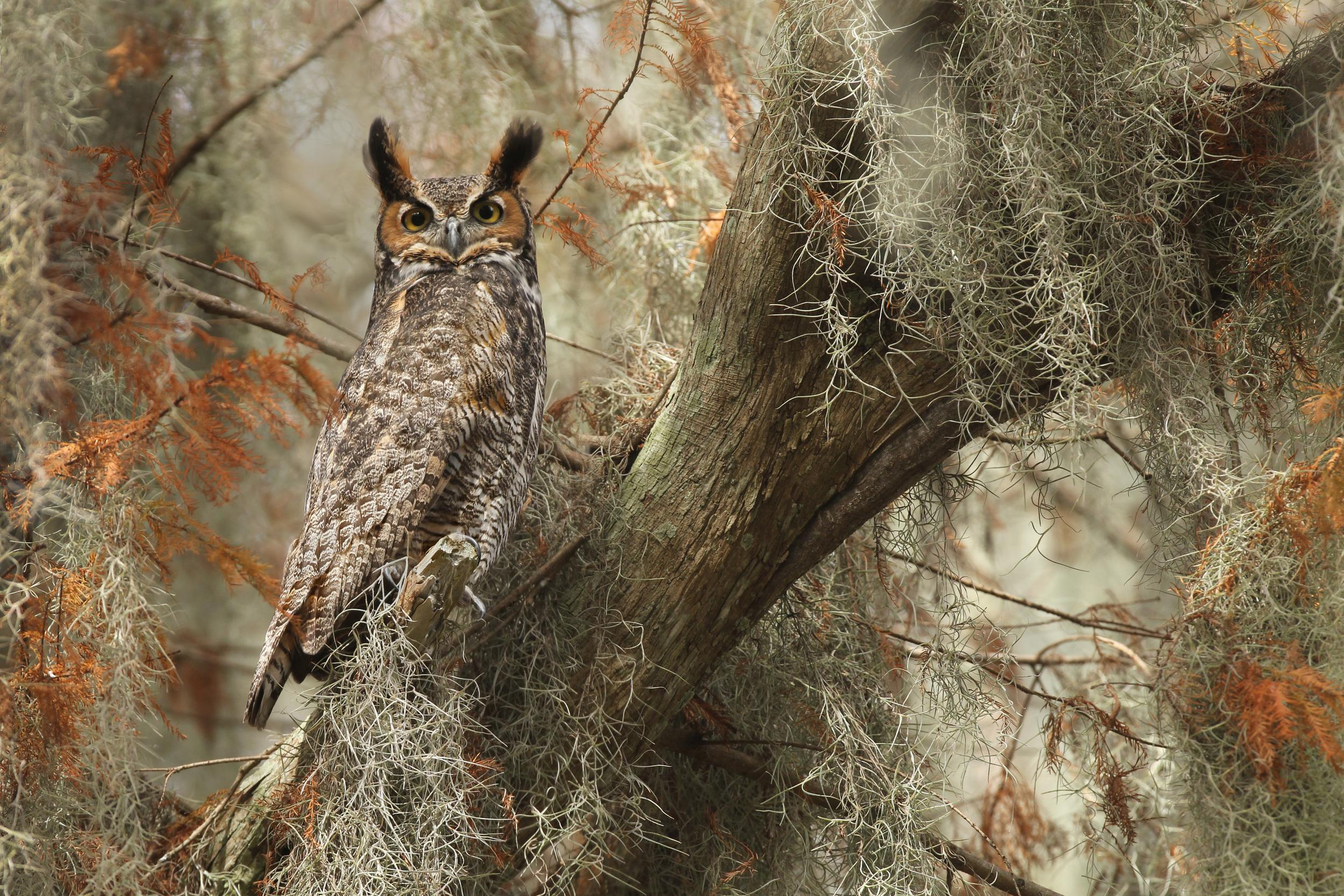 lake_toho_great-horned_owl_EI8C0192415b.jpg