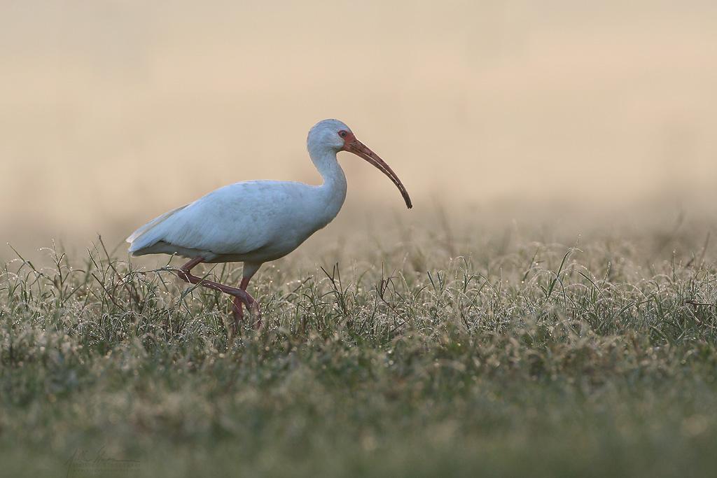 white_ibis_273w10.jpg