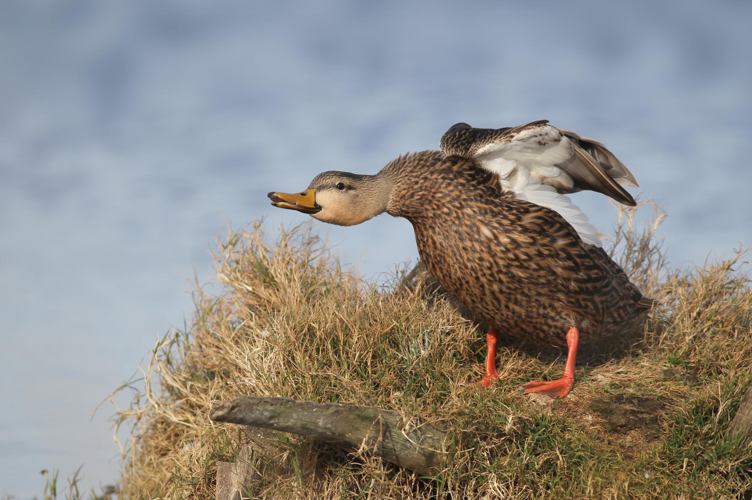 viera_wetlands_mottled_duck_EI8C0181751b.jpg