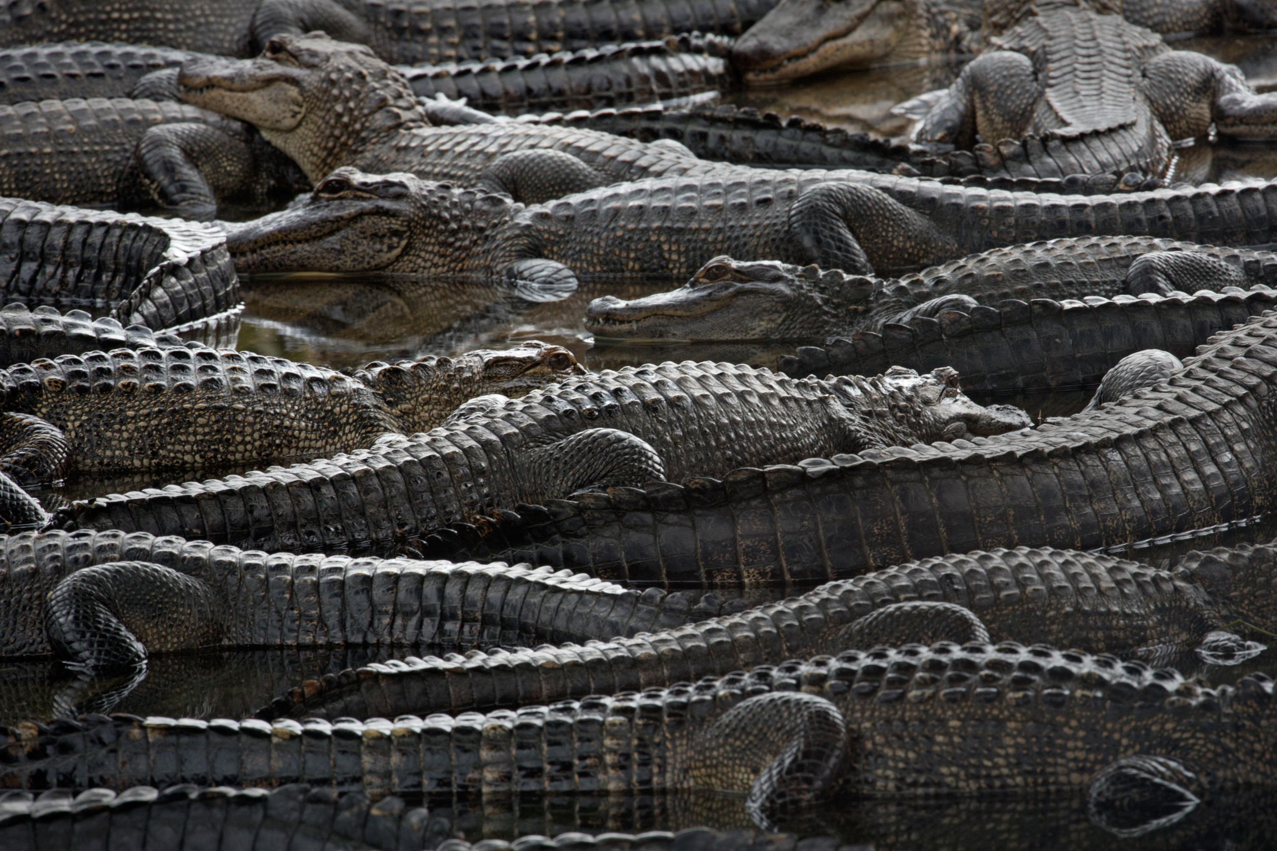 american_alligator_C61A9234b.jpg