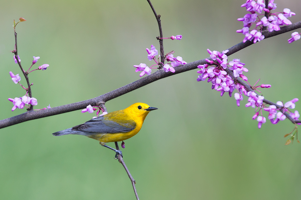 prothonotary_warbler_AG3P9396w10.jpg