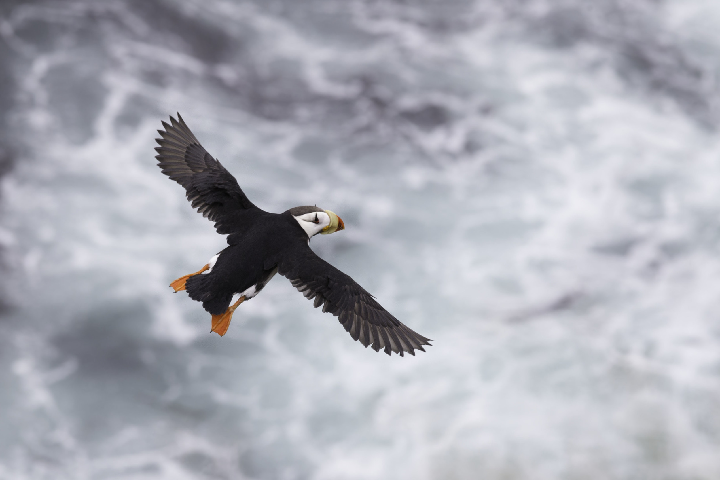 horned_puffin_AG3P3690b.jpg