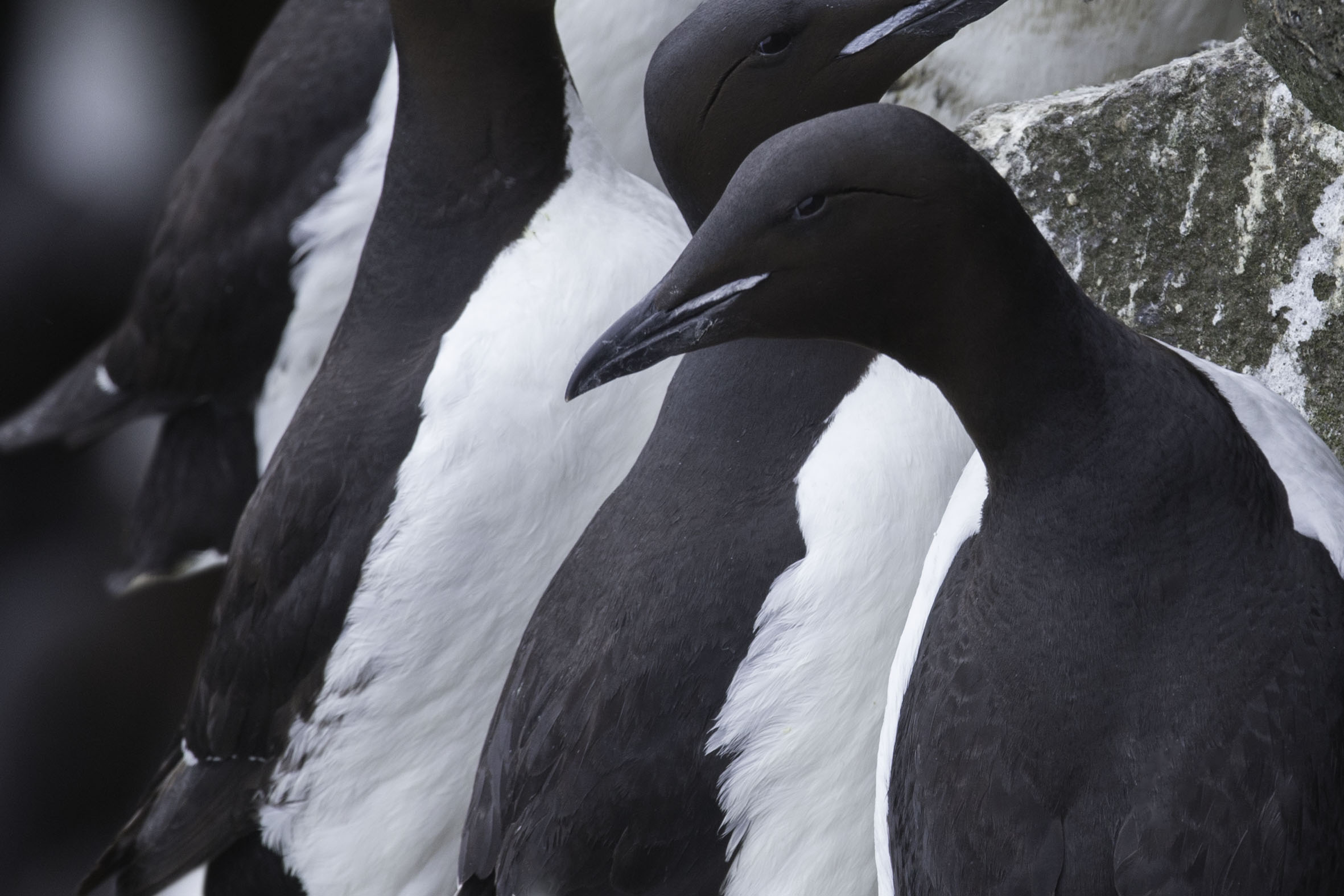 thick-billed_murre_AG3P3767b.jpg