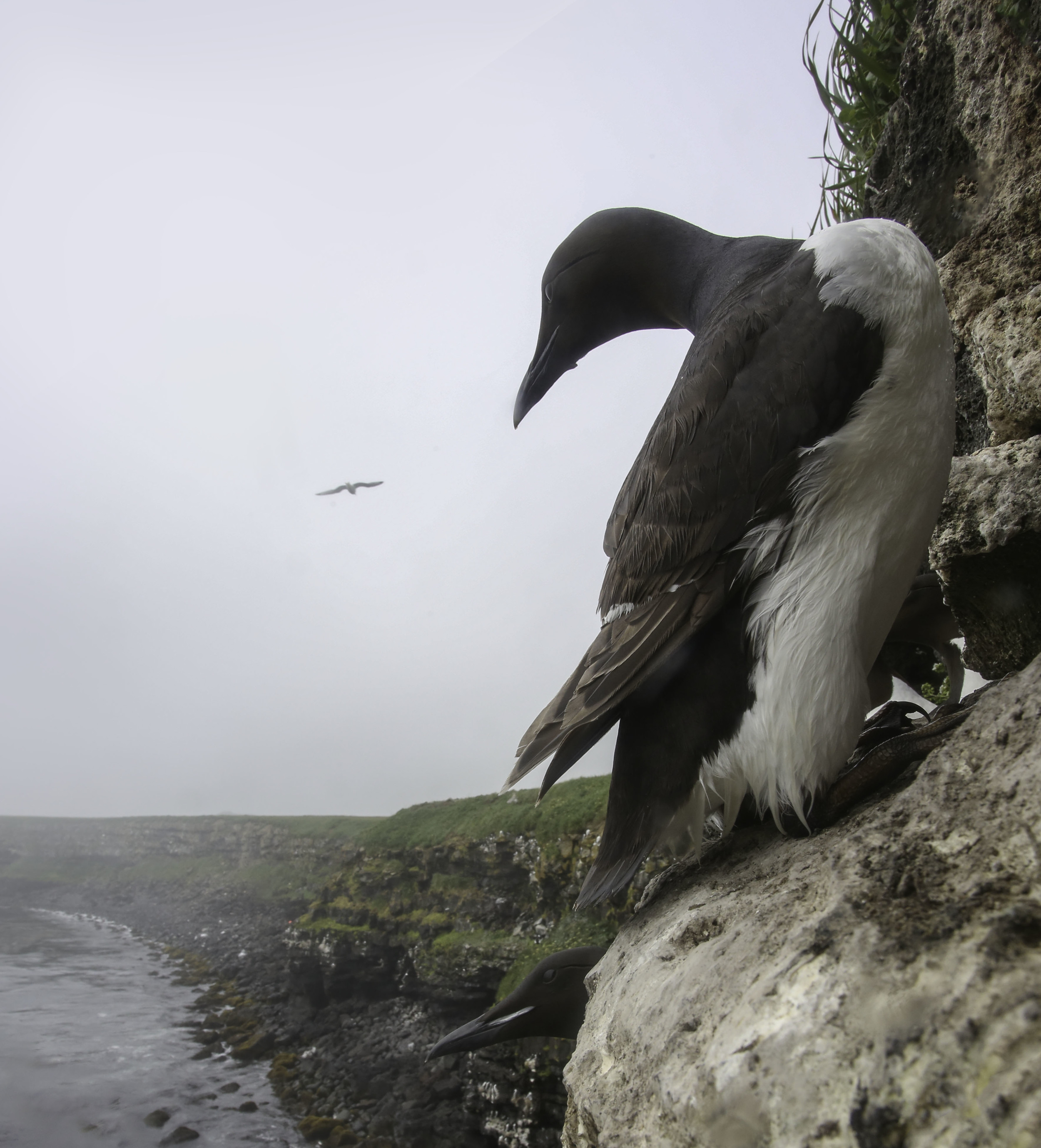 common_murre_C61A9053b.jpg