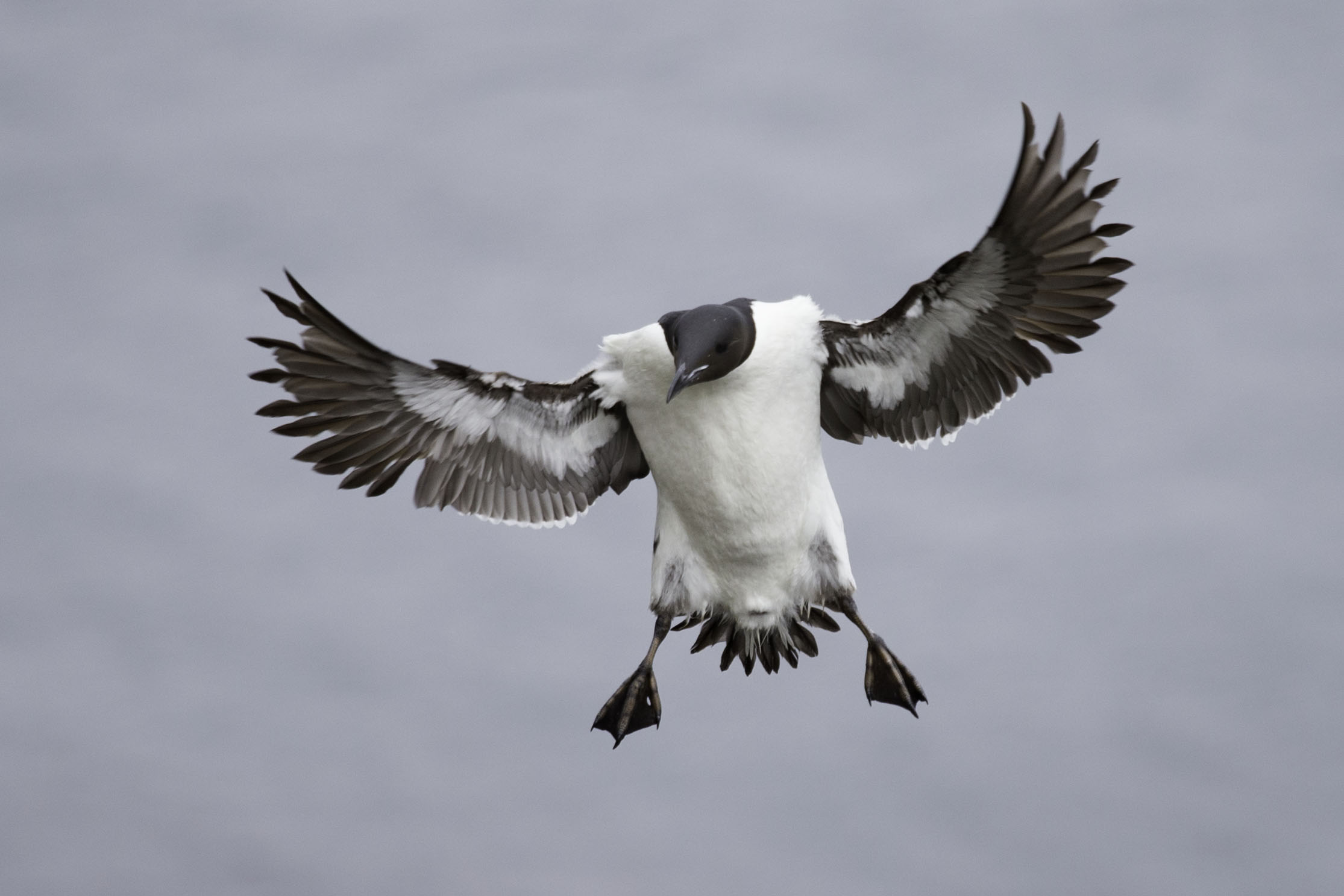 thick-billed_murre_AG3P2319b.jpg