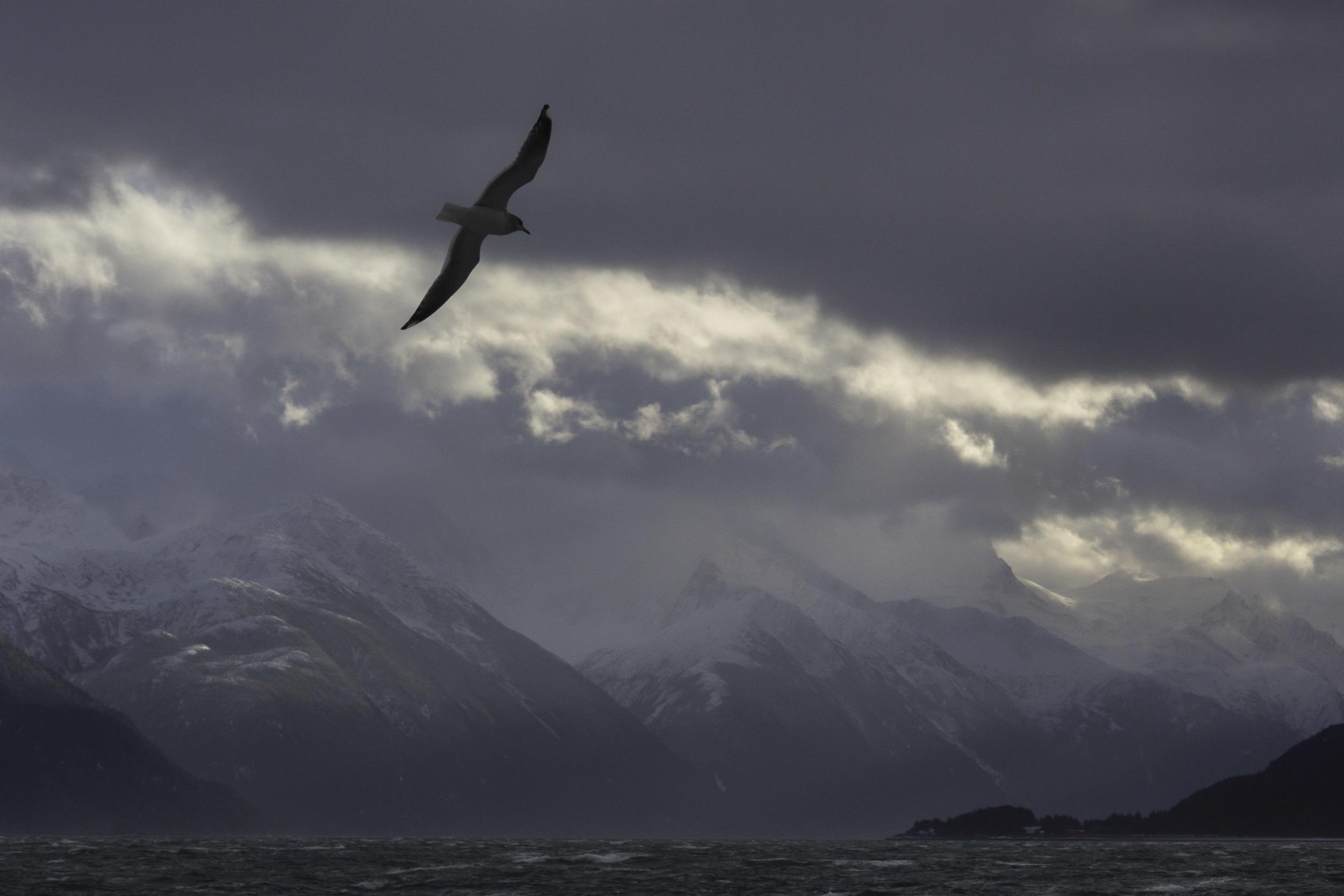 glaucous-winged_gull_00502130b.jpg