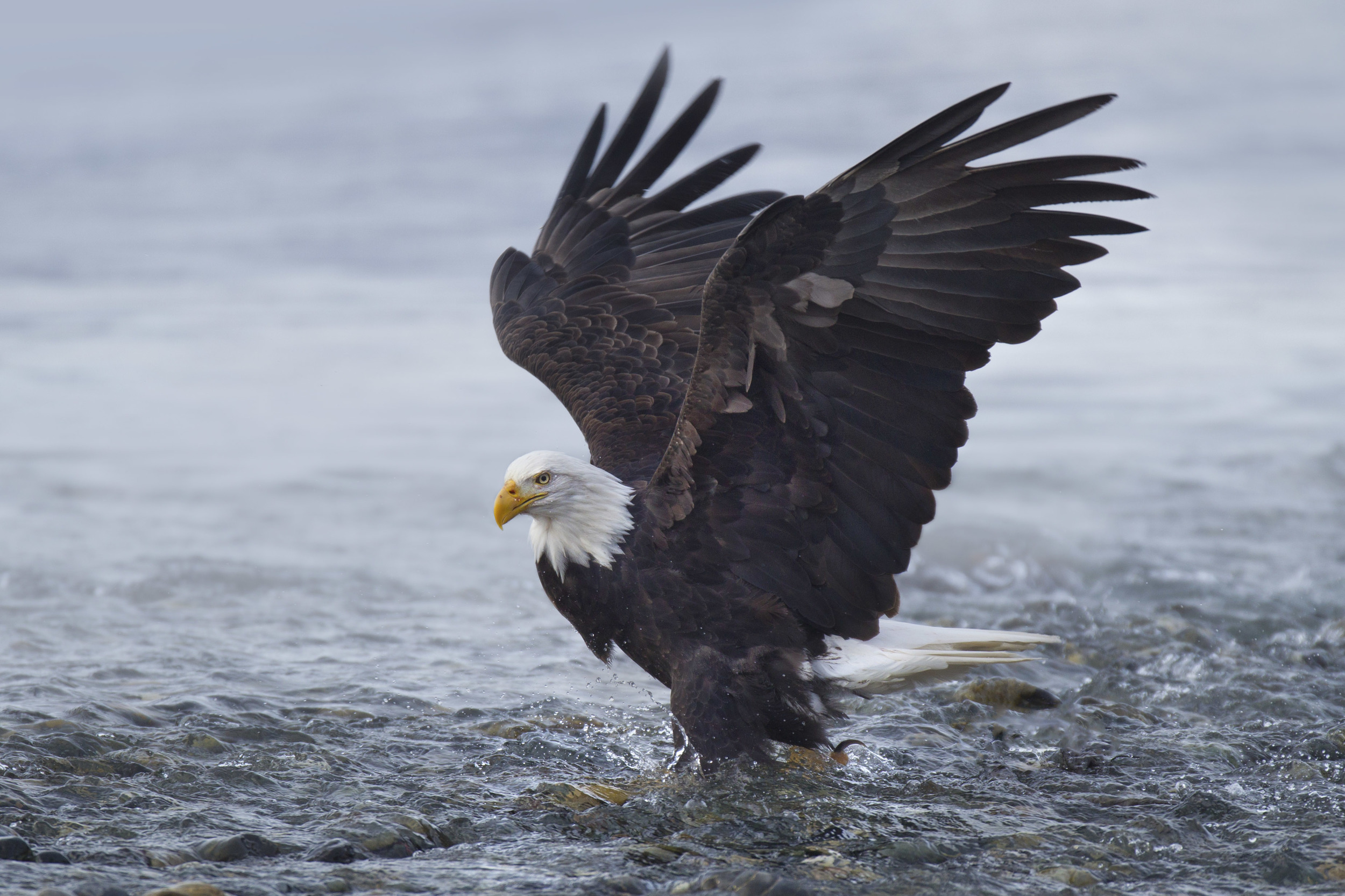 bald_eagle_00428599c.jpg