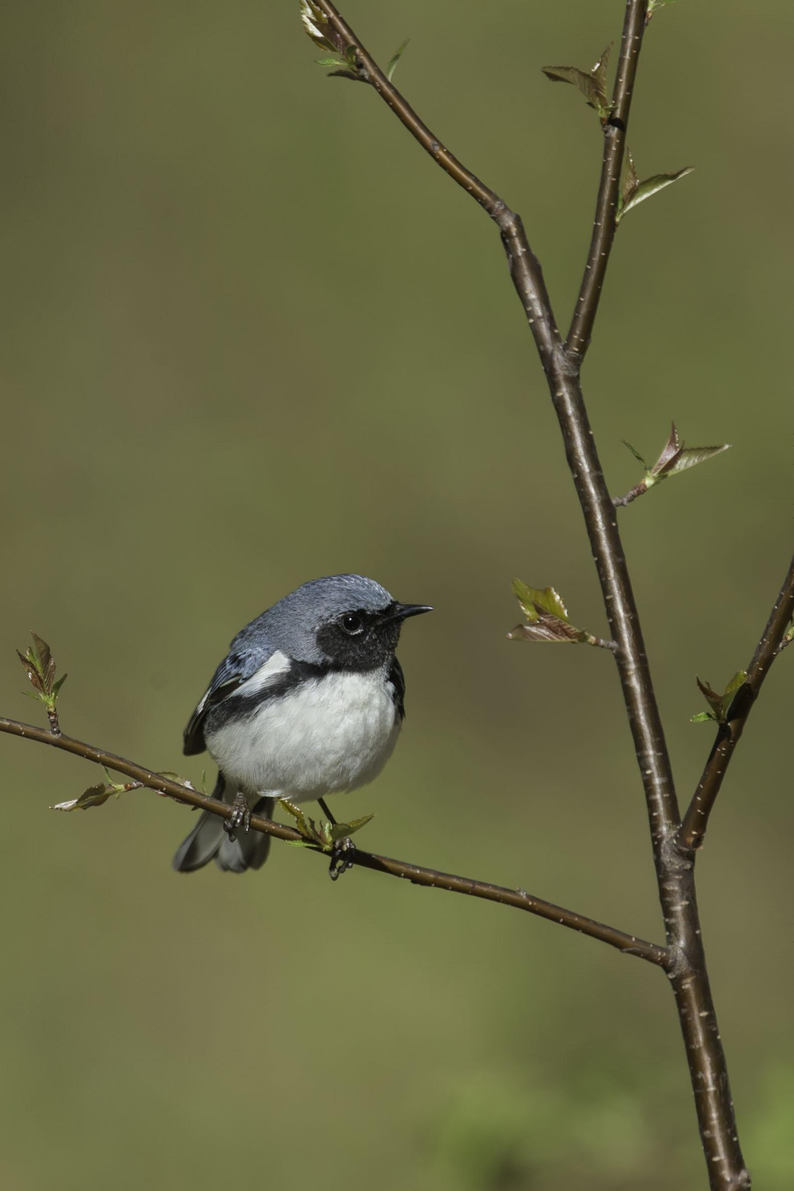 black-throated_blue_warbler_AG3P9437b.jpg