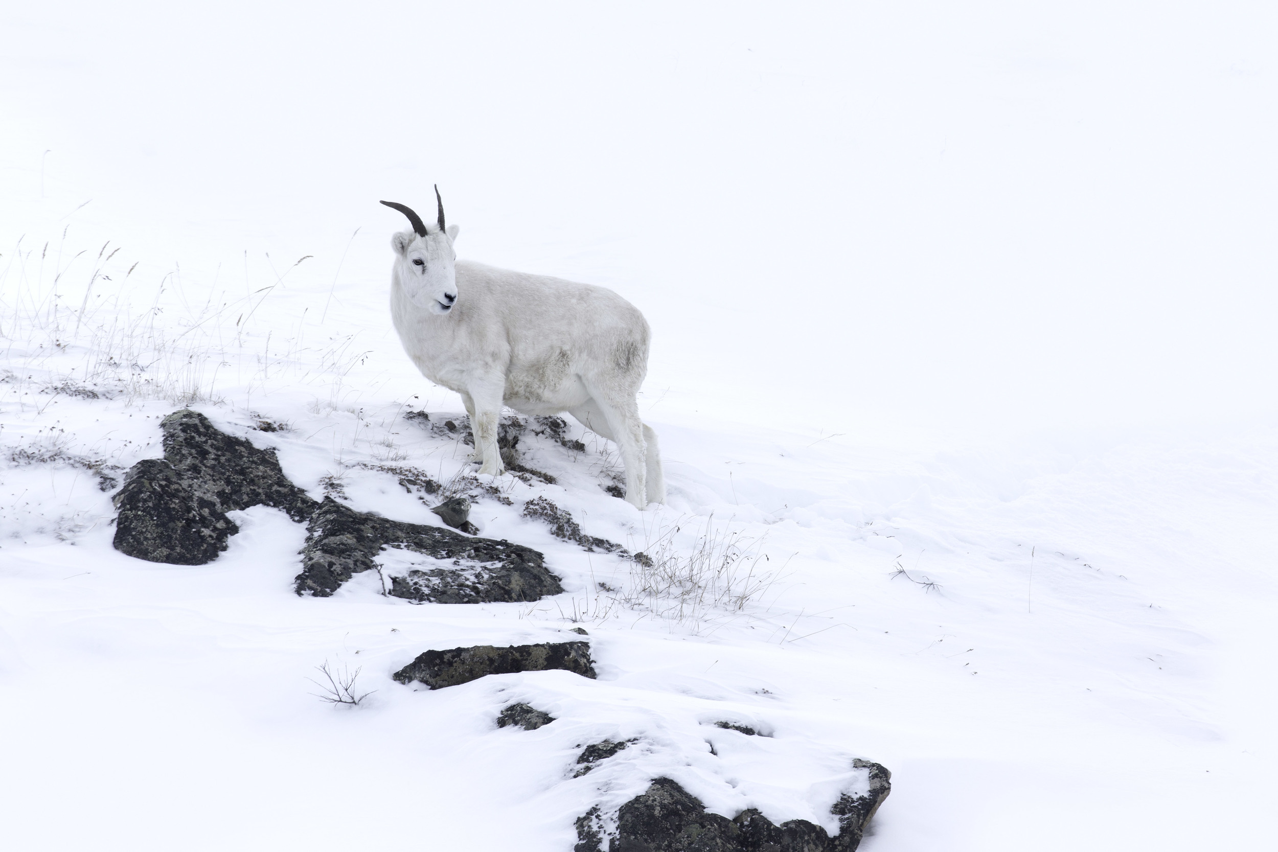 dall_sheep_AG3P8810b.jpg