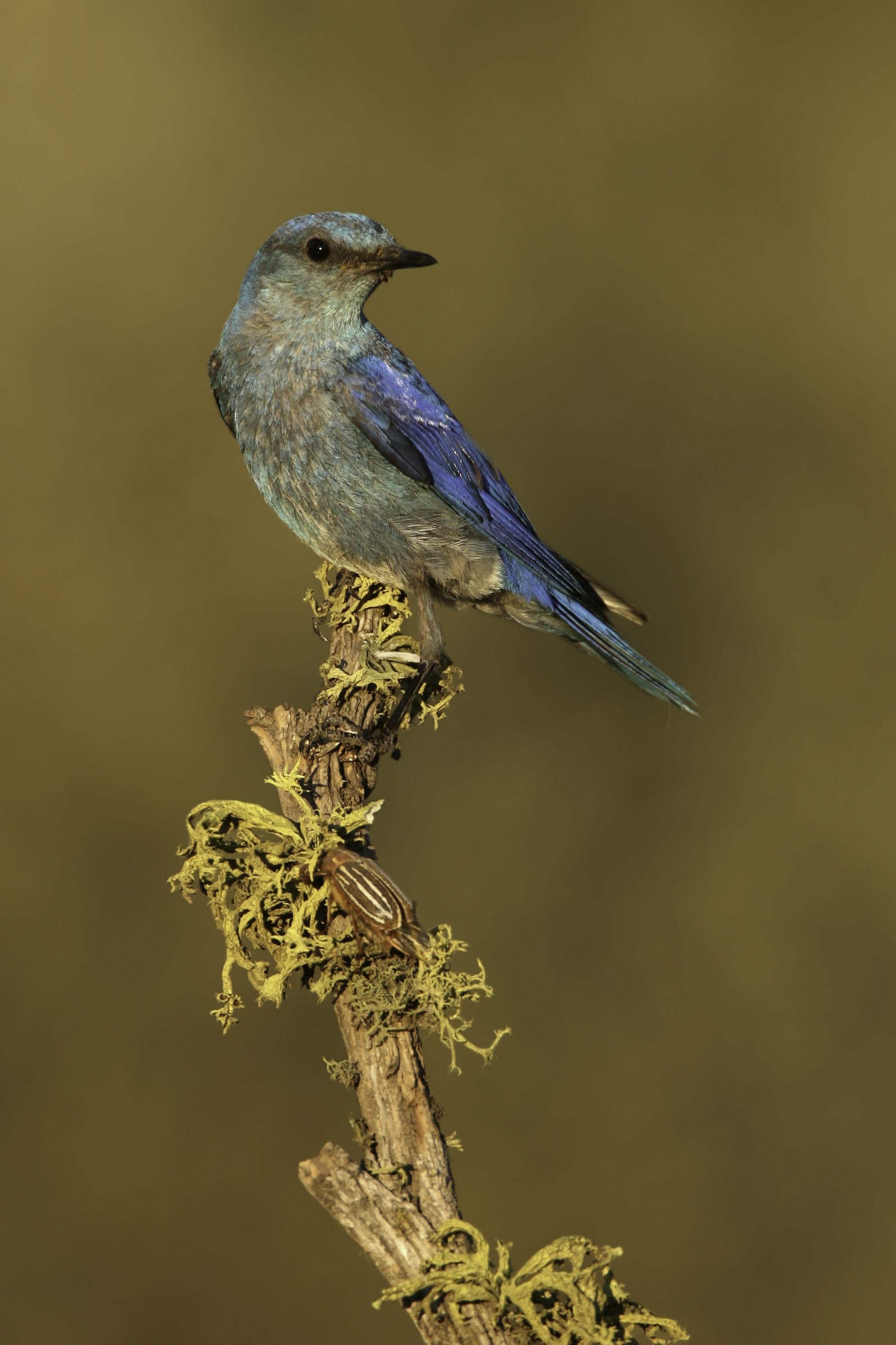 mountain_bluebird_h7457.jpg