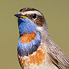 bluethroat_icon.jpg