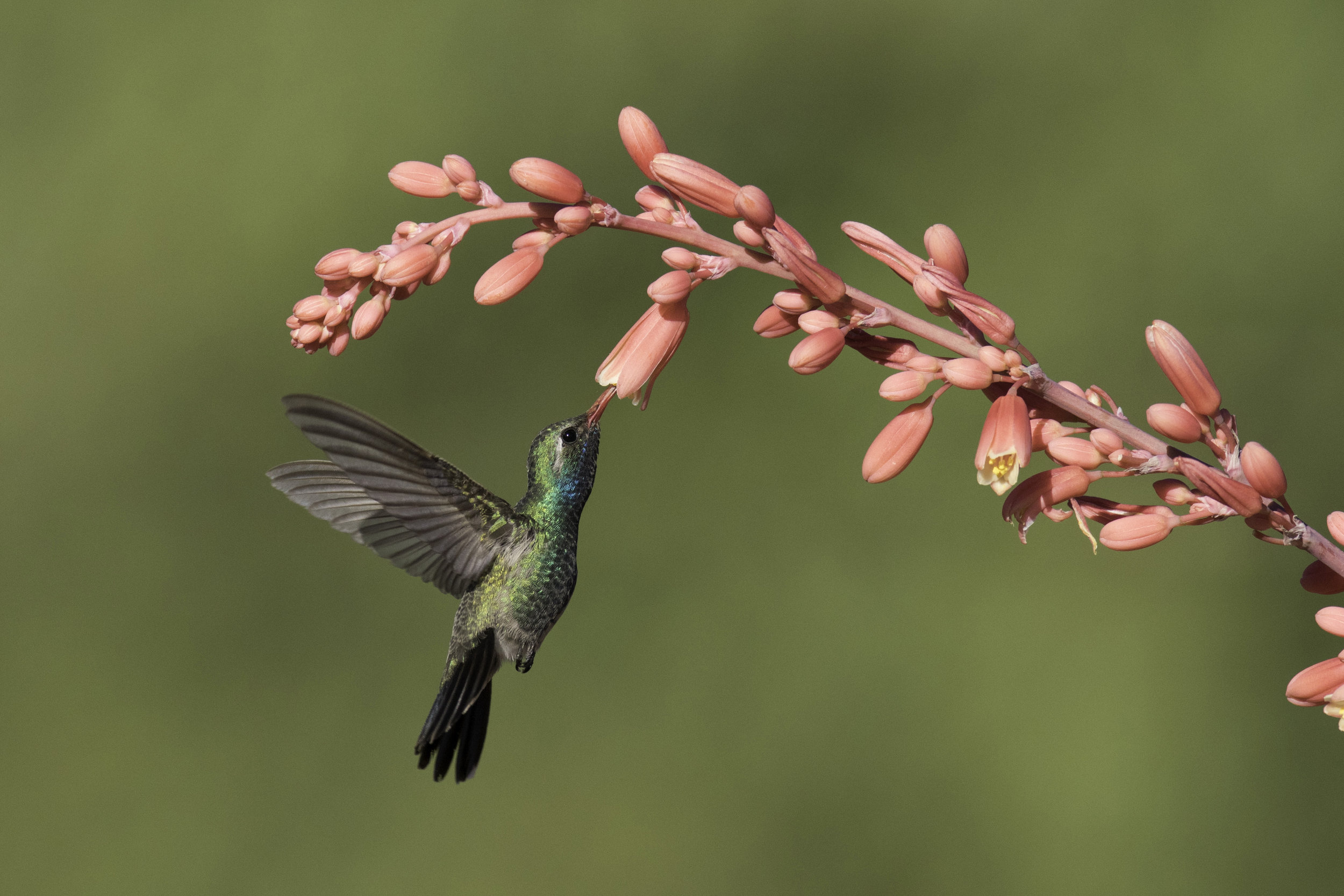 broad-billed_hummingbird_C76A9798b copy.jpg