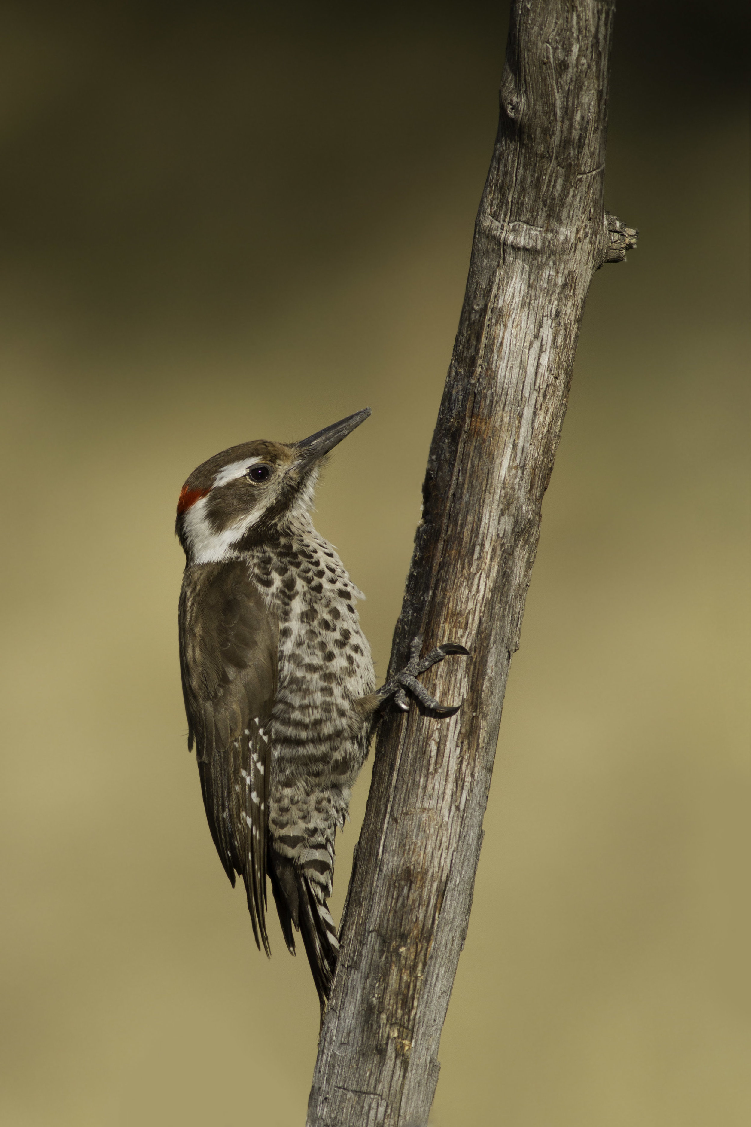 arizona_woodpecker_0020.jpg