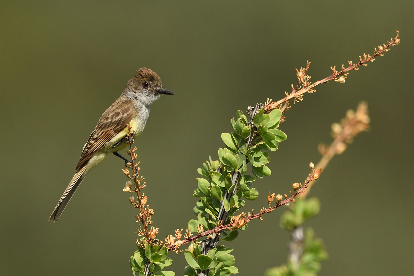 Dusky-capped Flycatcher © John Crawley