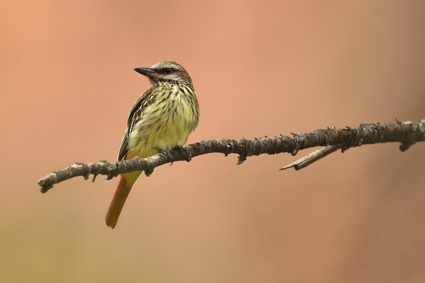 Sulpher-bellied Flycatcher © John Crawley