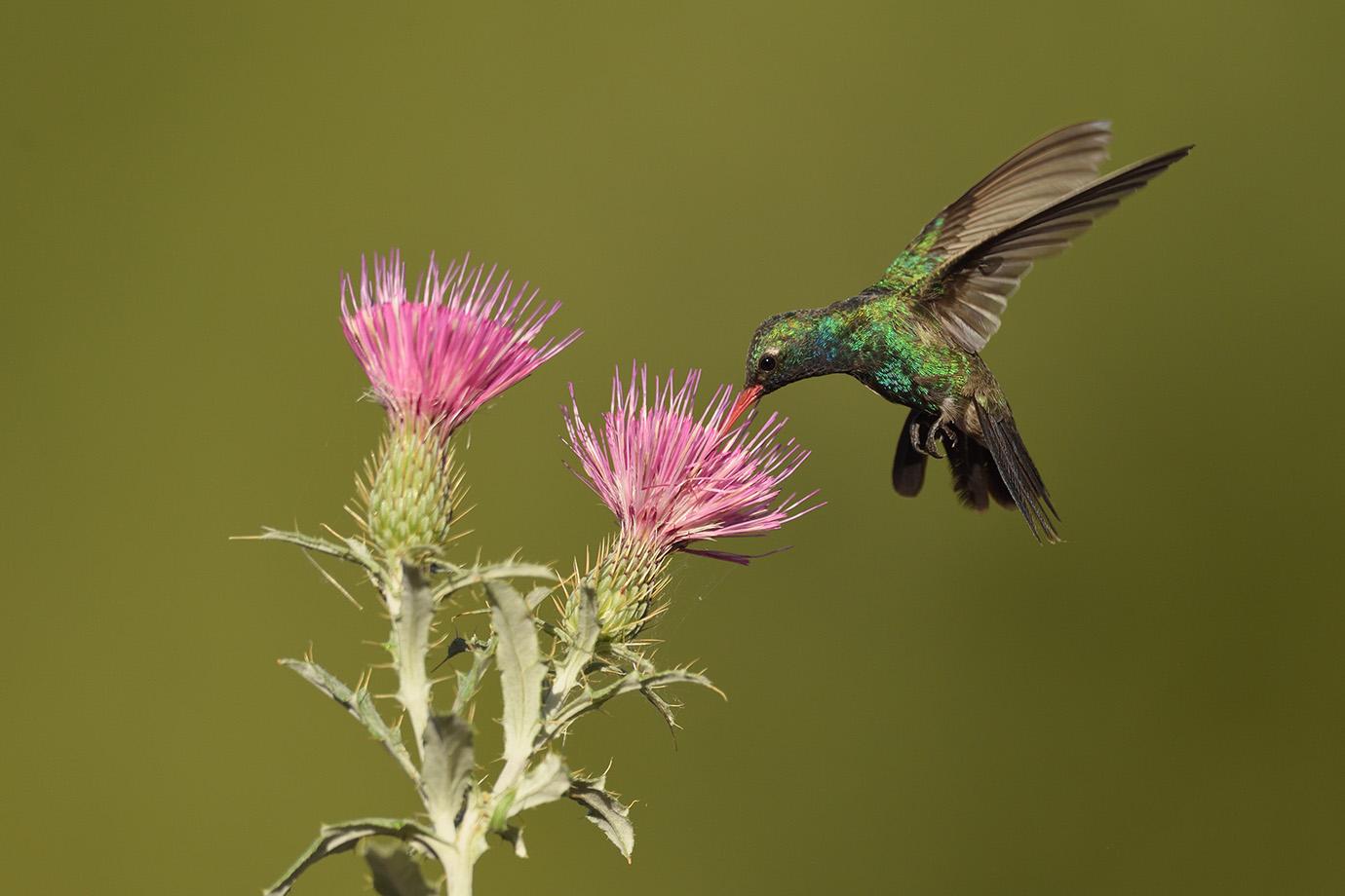 Copy of Broad-billed Hummingbird © John Crawley