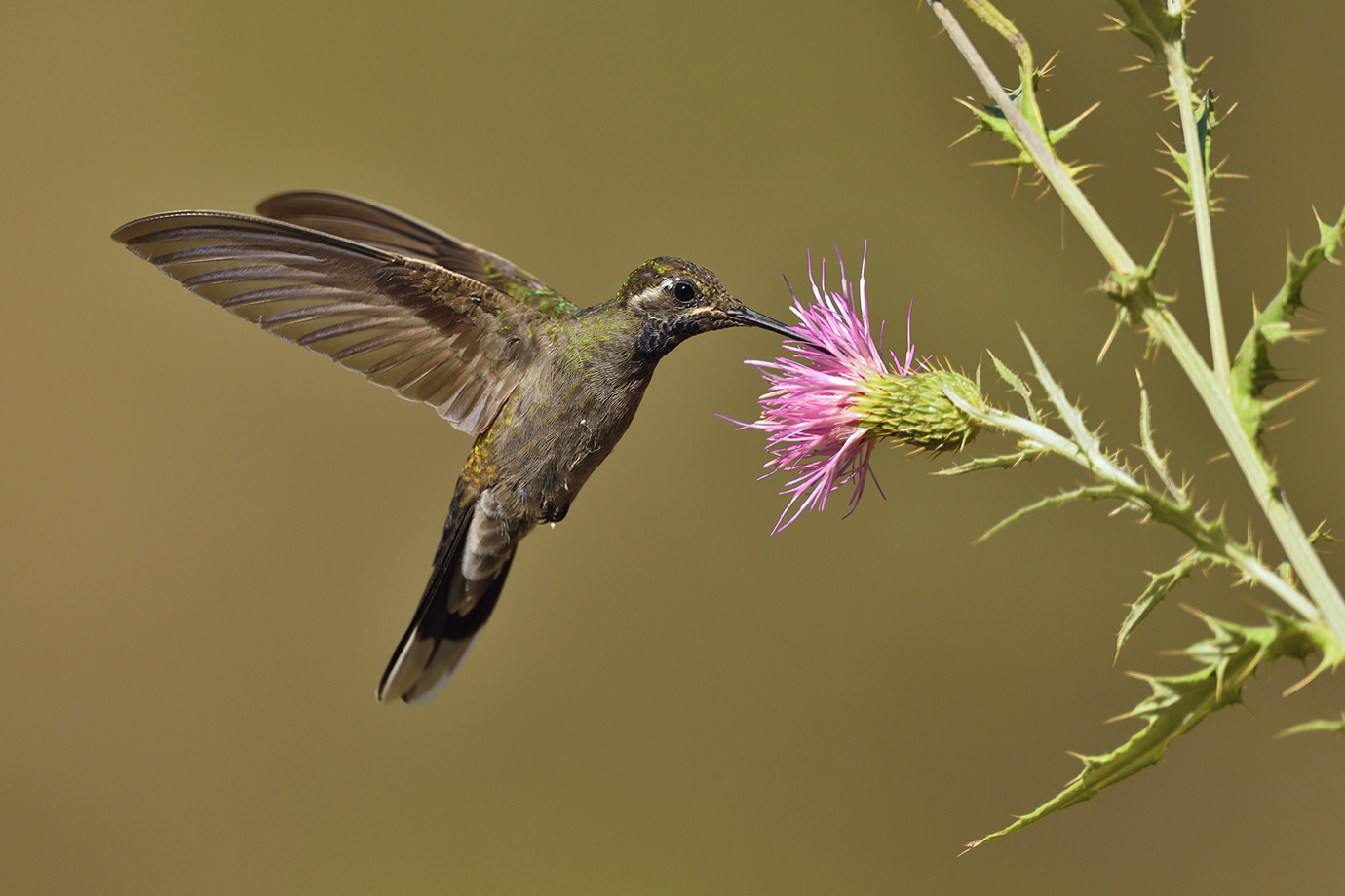 Copy of Blue-throated Hummingbird © John Crawley