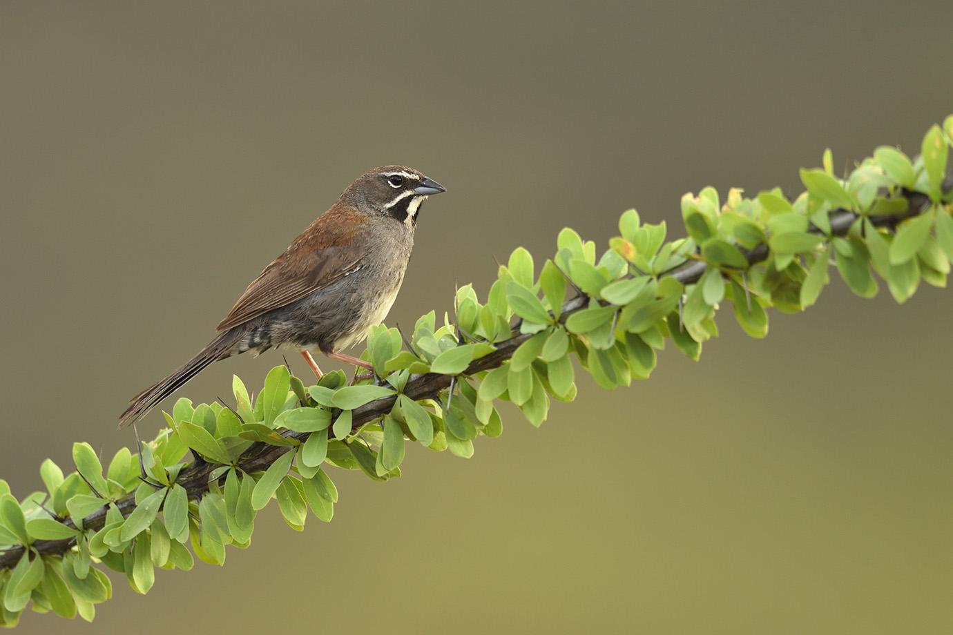 Copy of Five-striped Sparrow © John Crawley