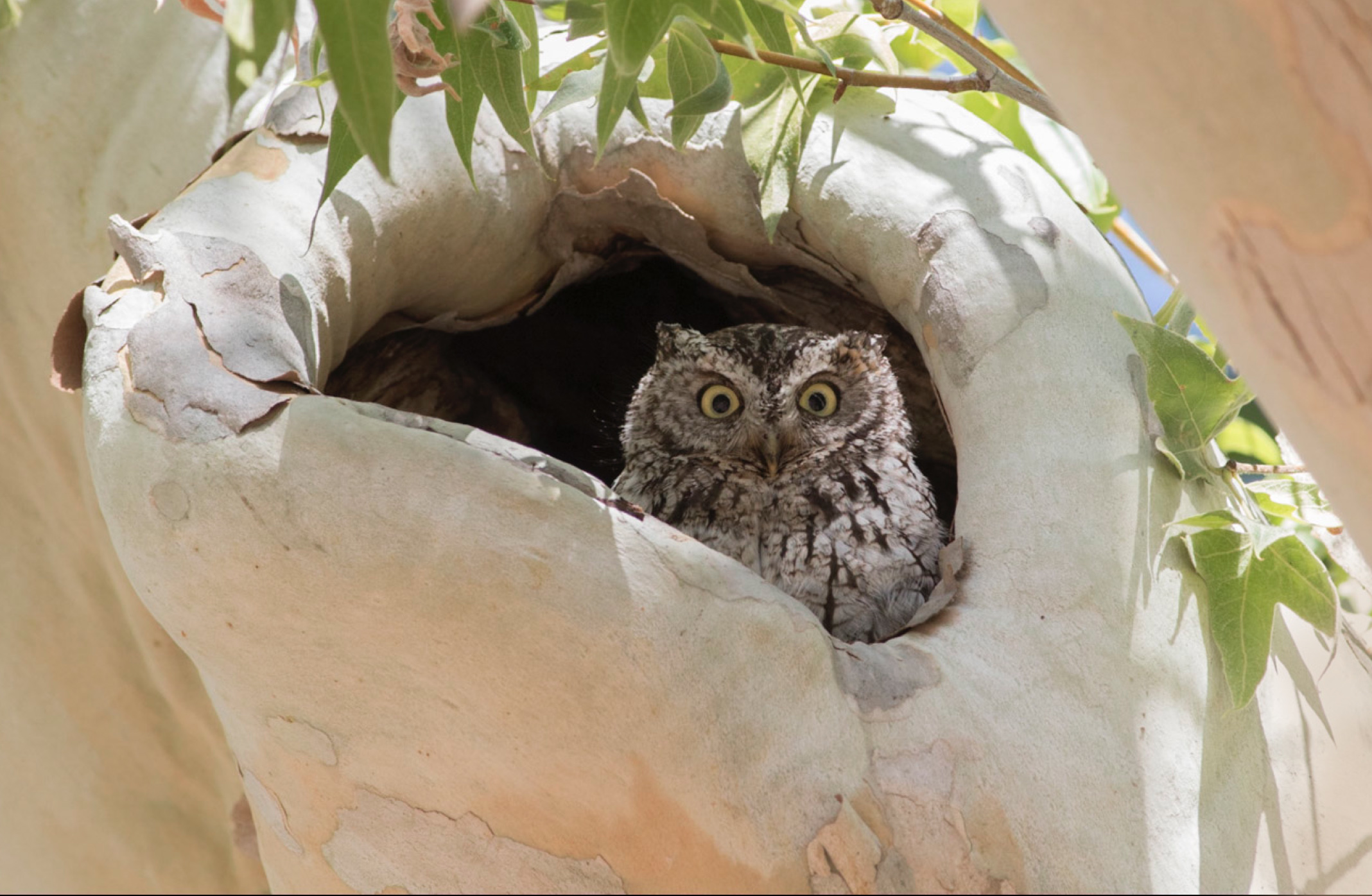 whiskered_screech_owl_screenshot1.jpg