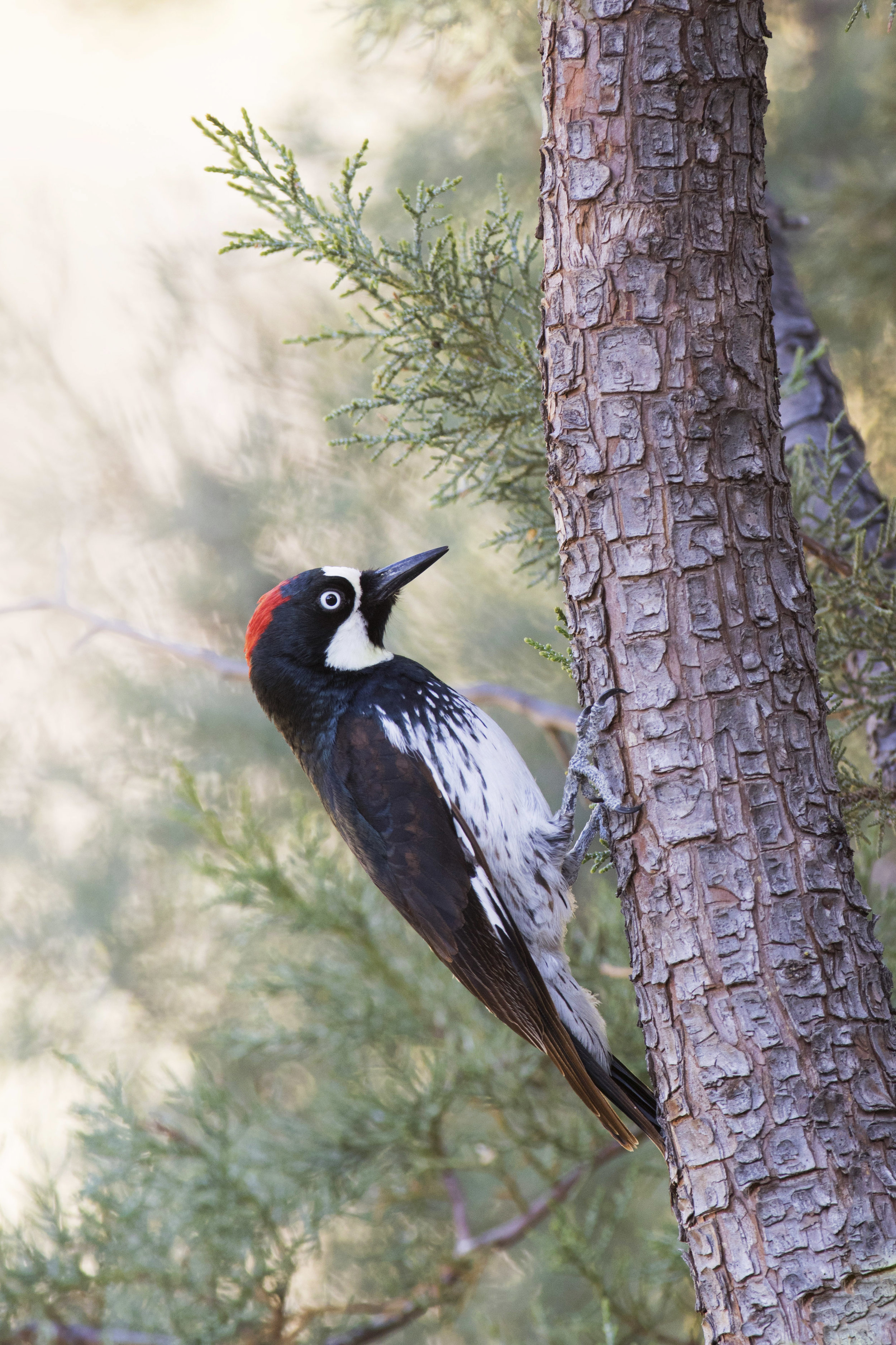 acorn_woodpecker_C76A1059b copy.jpg