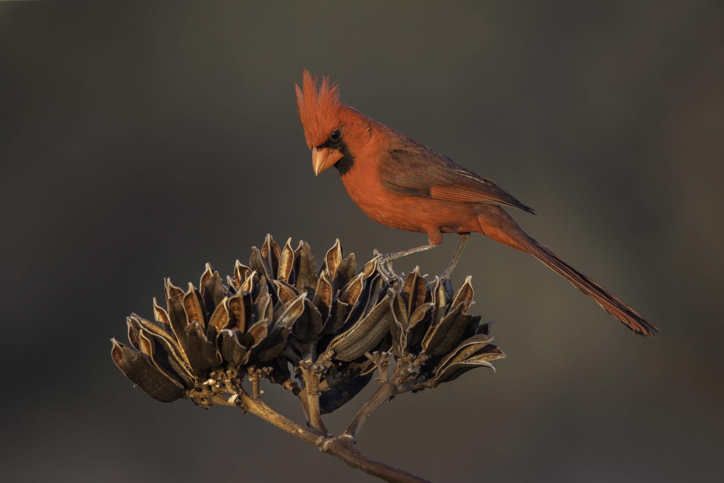 northern_cardinal_8251.jpg