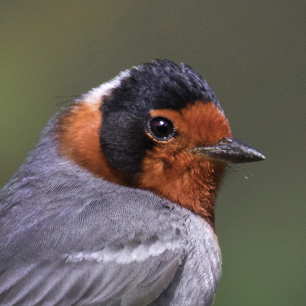 red-faced_warbler_icon copy.jpg