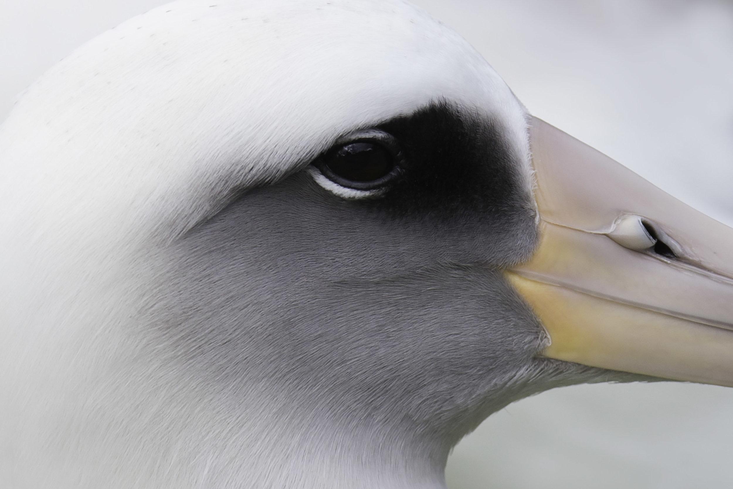 albatross_AE2R0944.jpg