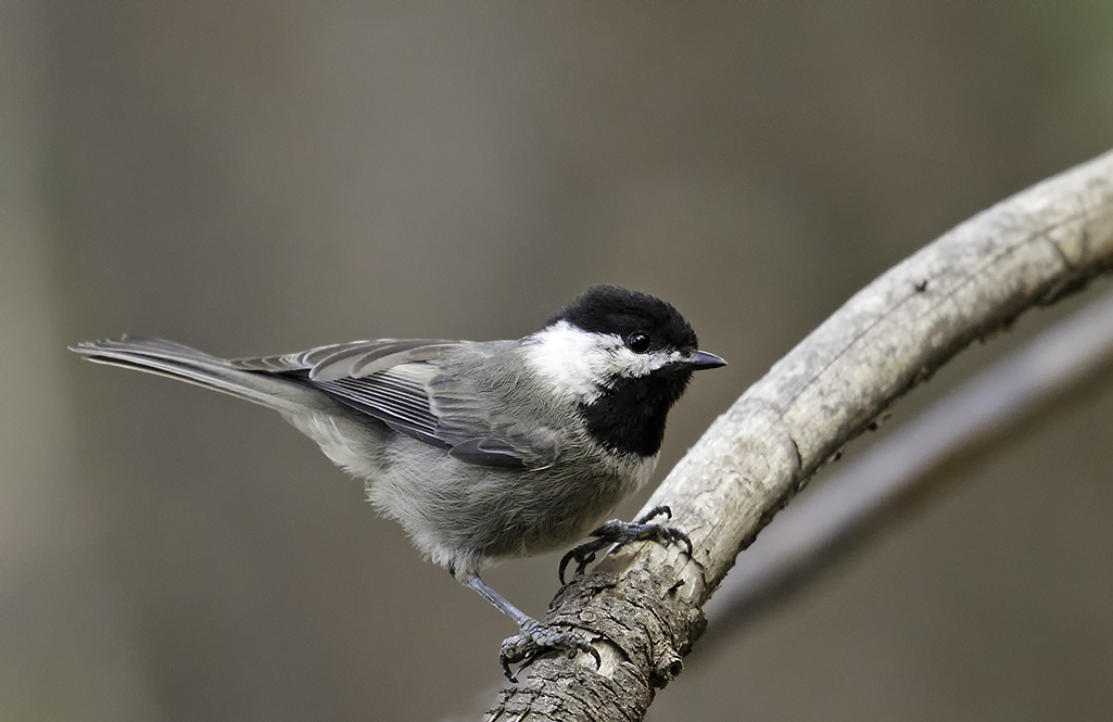 Mexican Chickadee © Ken Cook