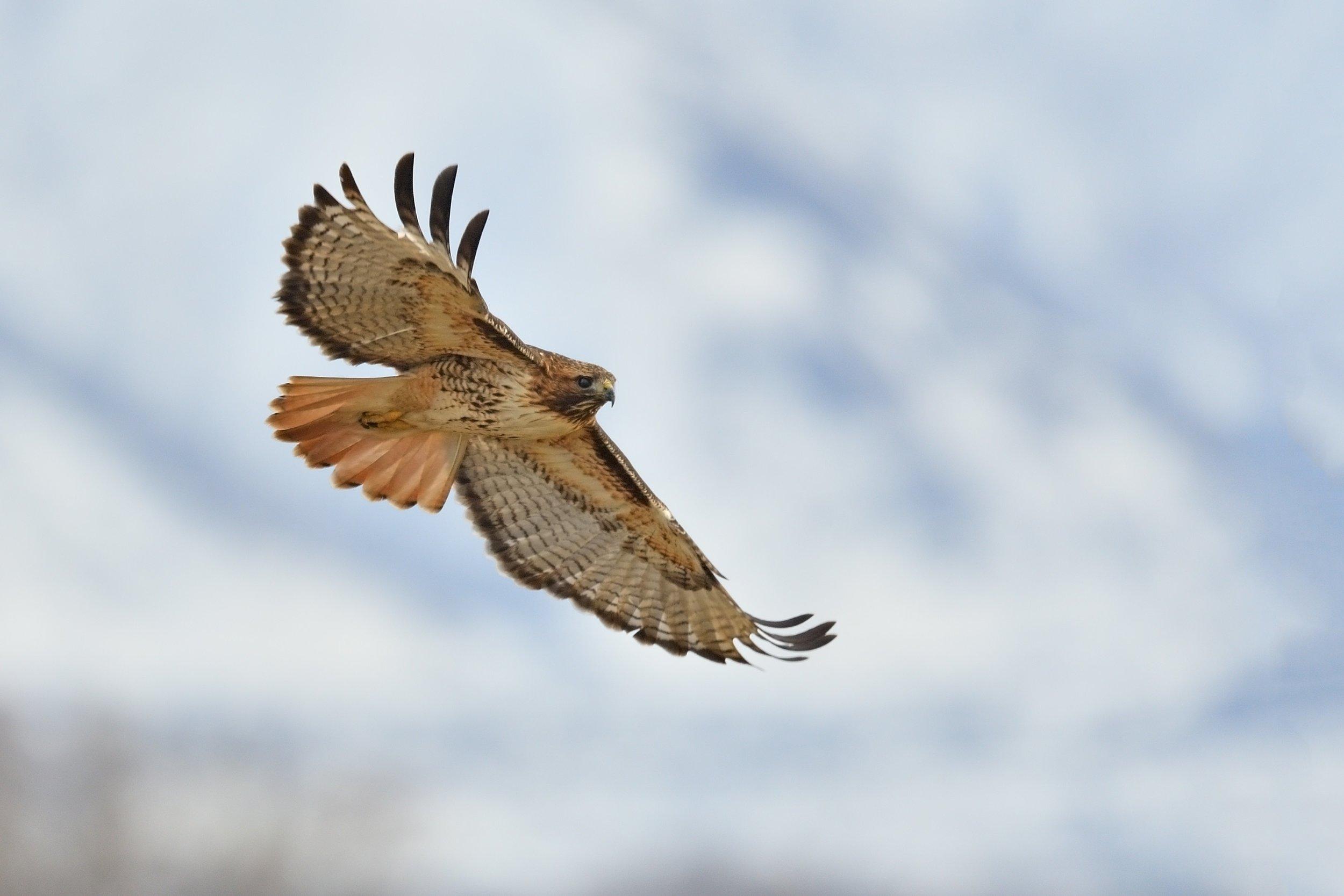 Red-tailed Hawk © John Crawley