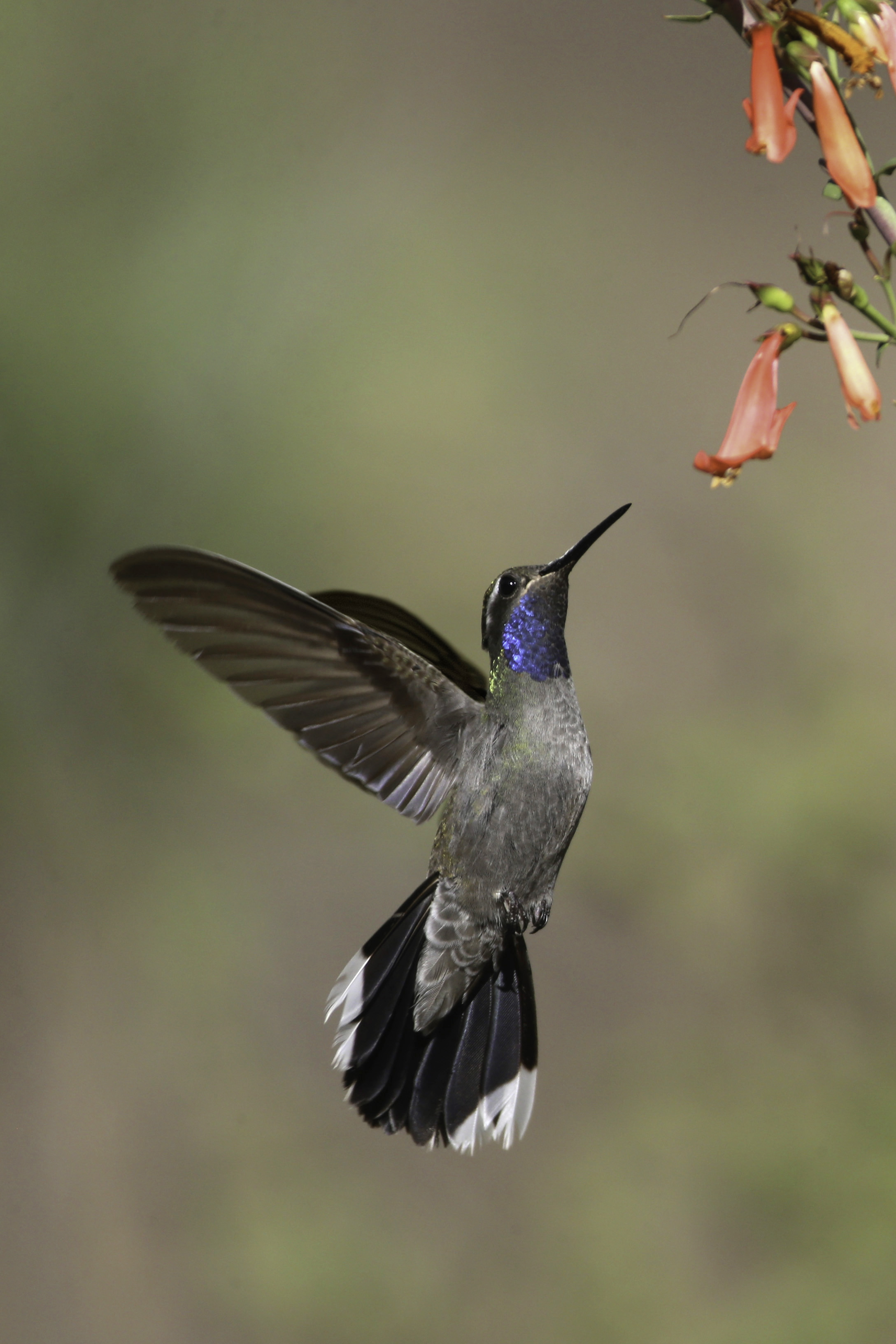 blue-throated_hummingbird_AE2R8659-Edit2.jpg