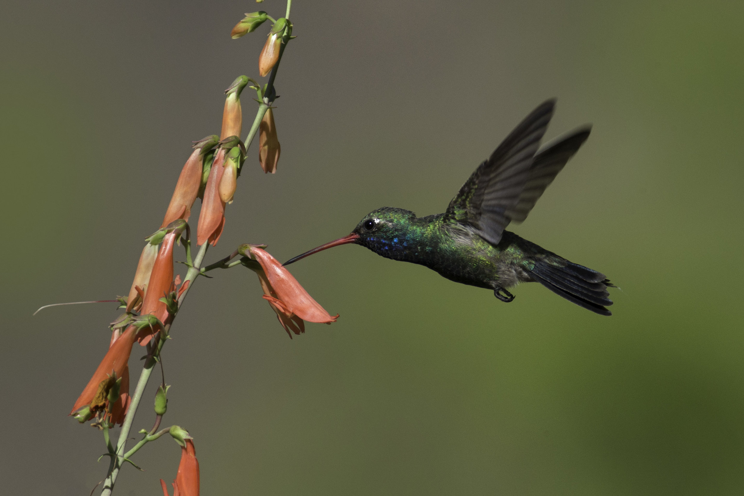 broad-billed_hummingbird_AE2R8706-Edit.jpg