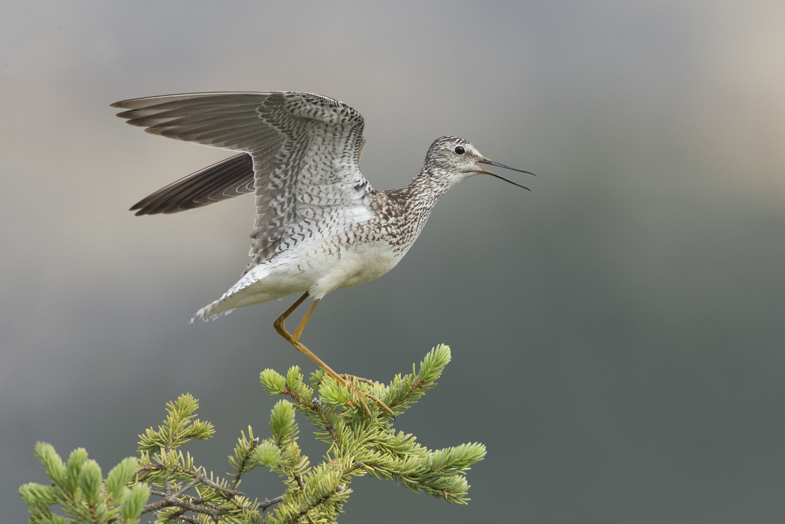 lesser_yellowlegs_AE2R1194b.jpg