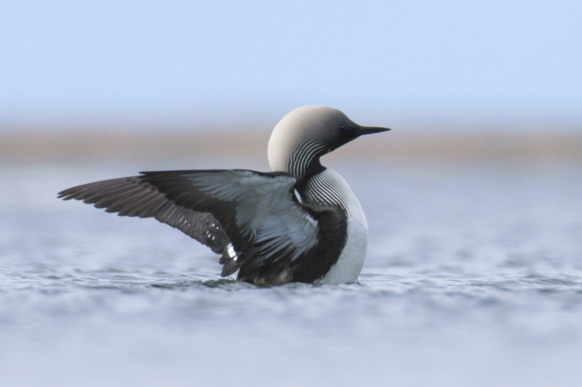 pacific_loon_AE2R1061b.jpg