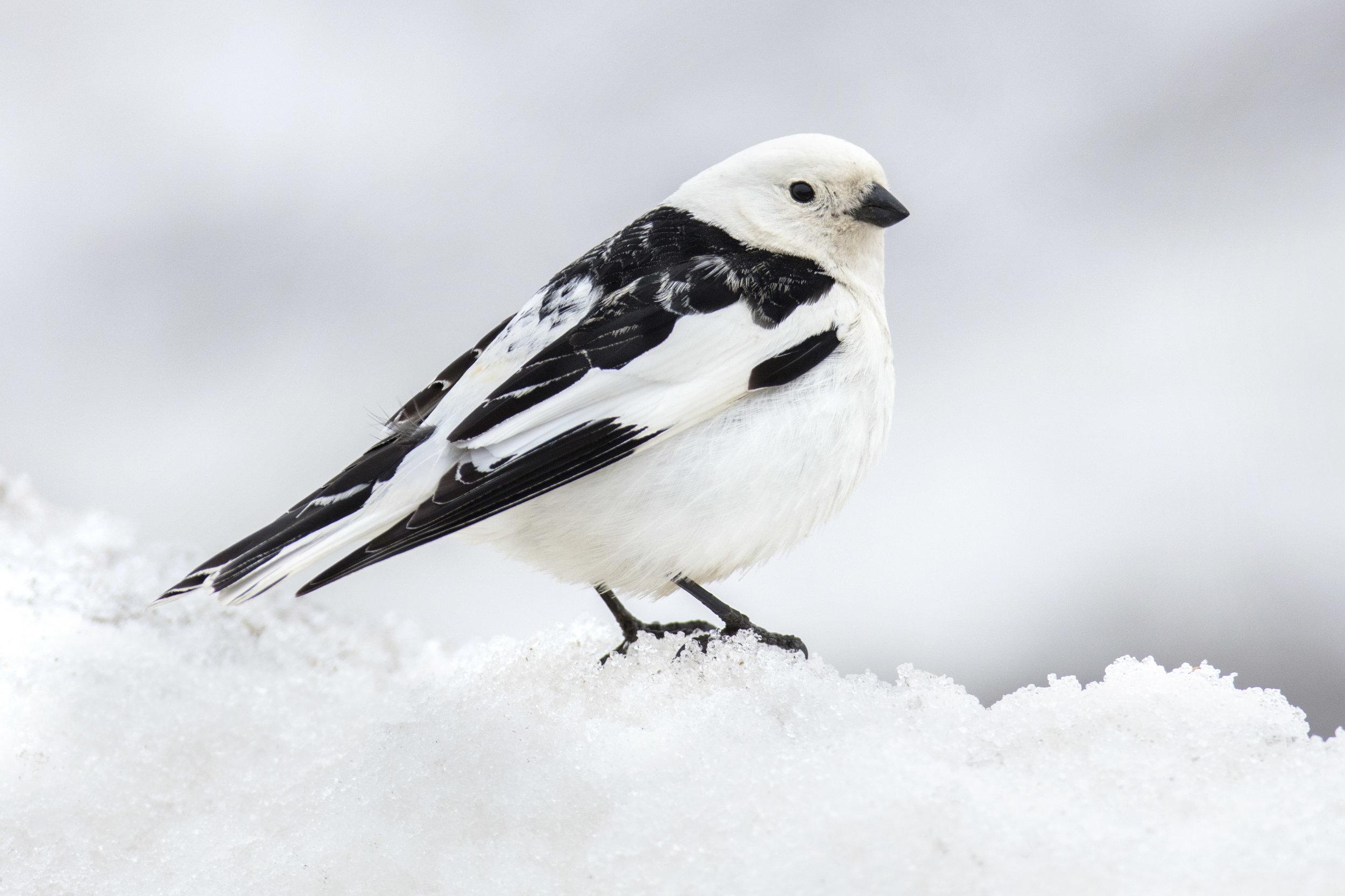 snow_bunting_1H7A3319b.jpg
