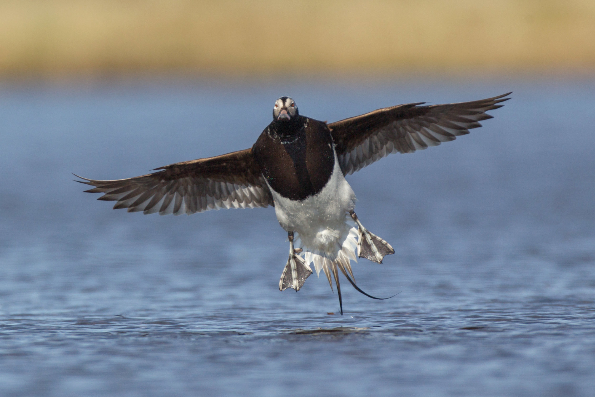 long-tailed_duck_N0000431b.jpg