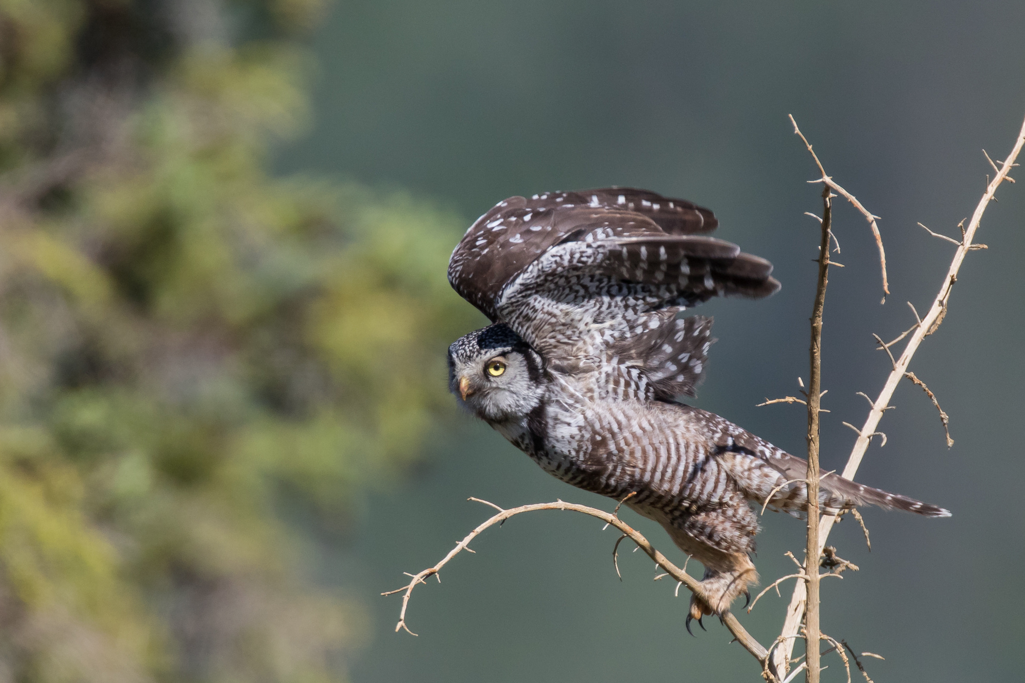Northern Hawk Owl © 田 靜玲 Tien