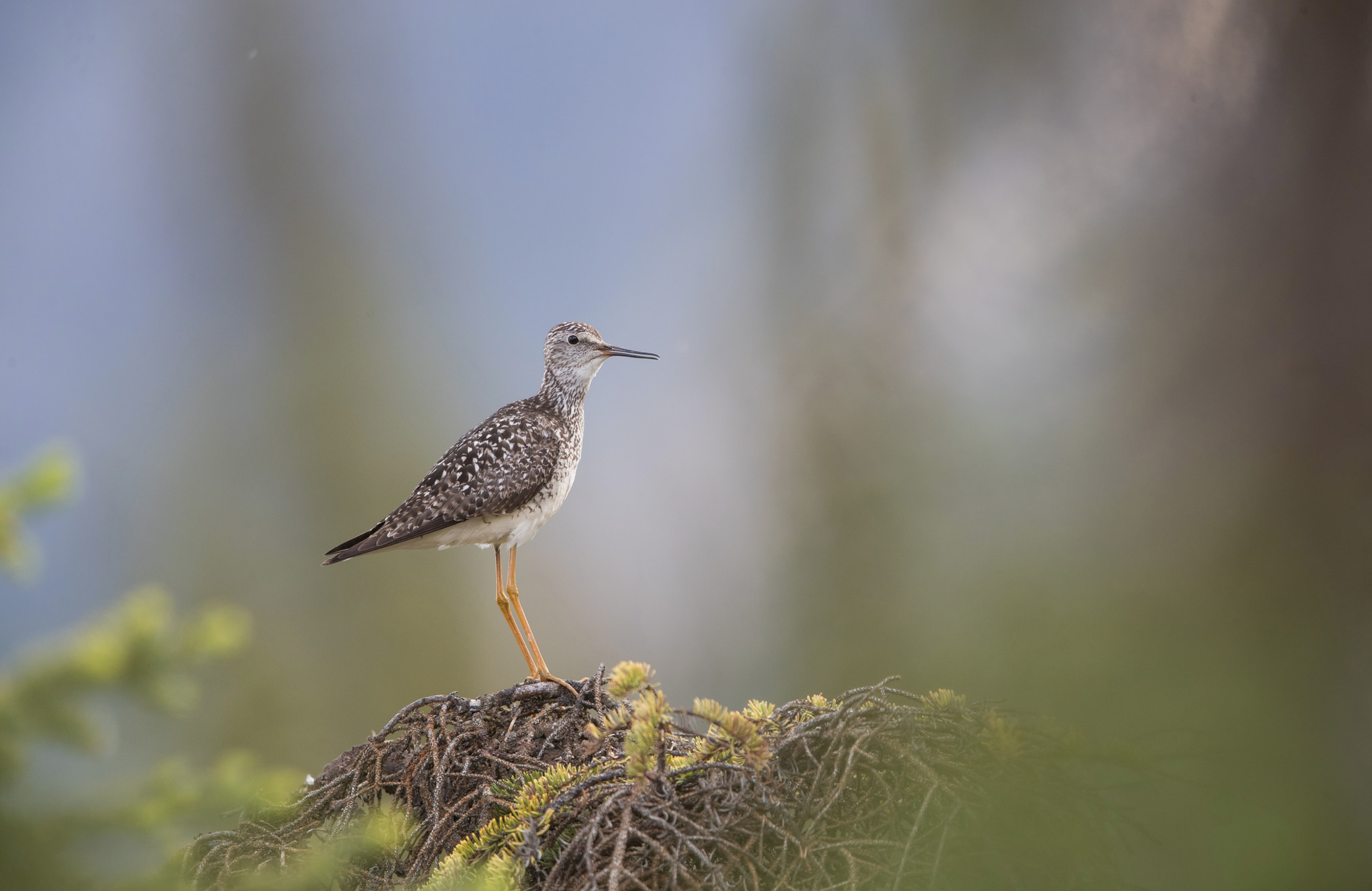 Lesser Yellowlegs © 田 靜玲 Tien