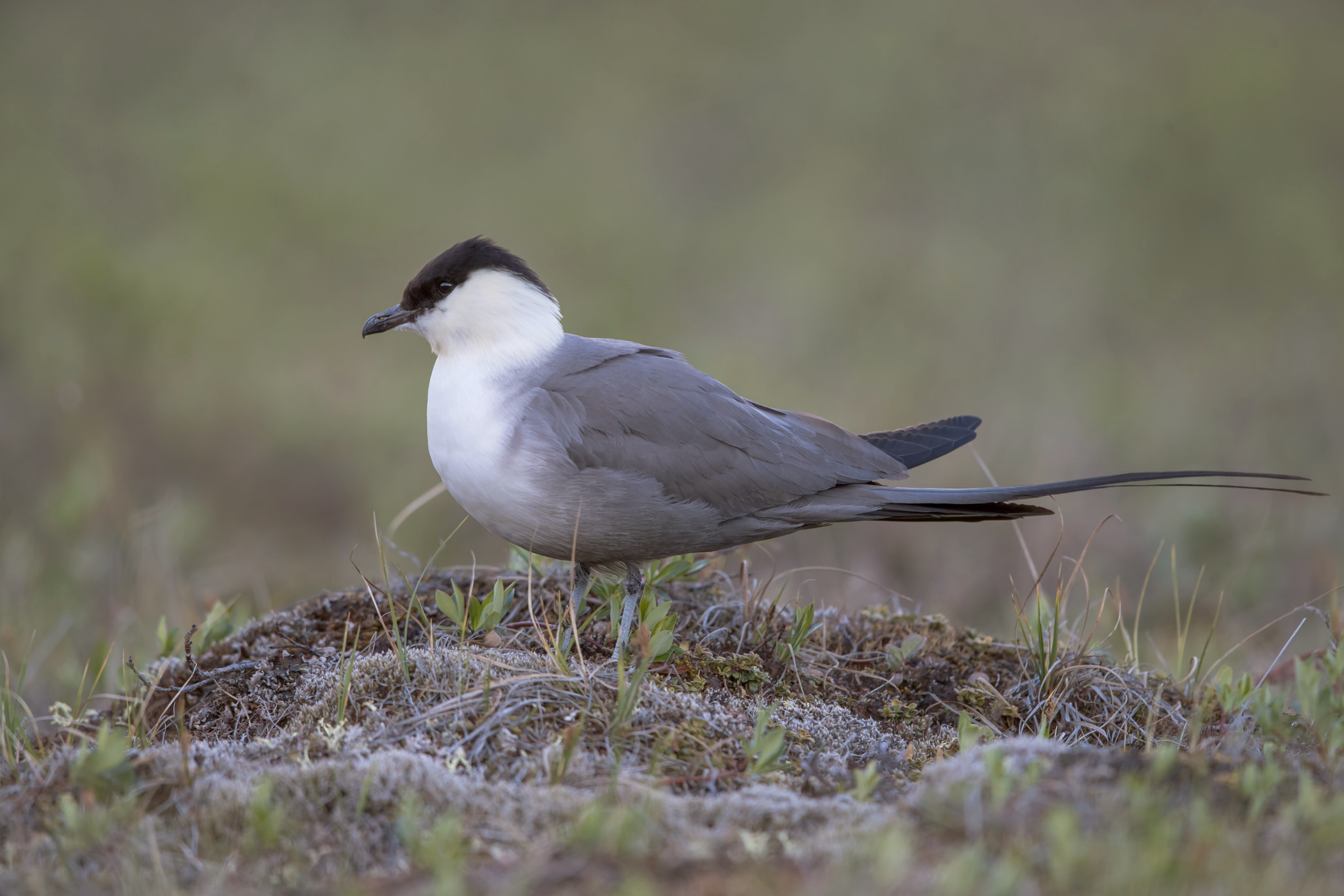 Long-tailed Jaeger © 田 靜玲 Tien