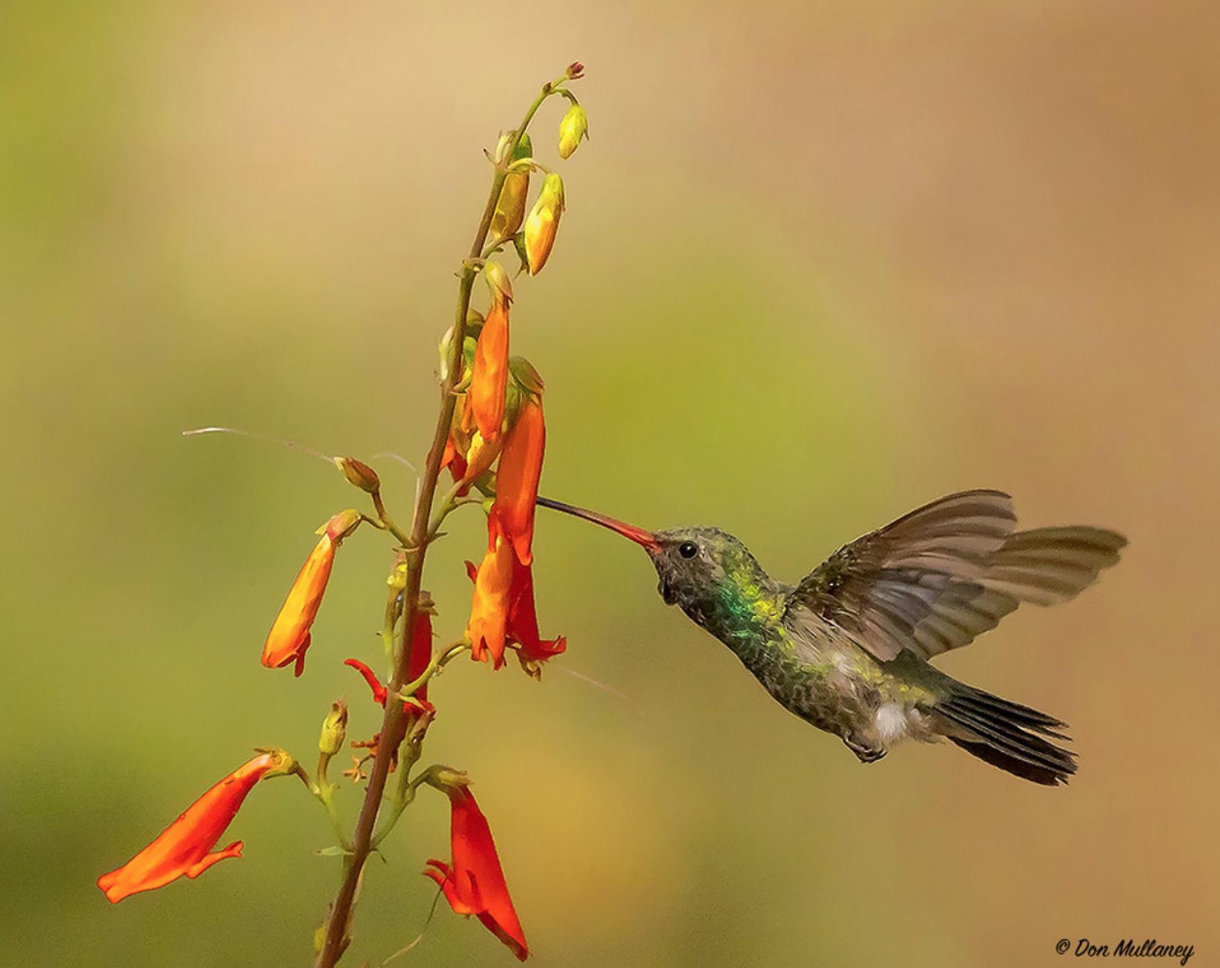 Copy of Broad-billed Hummingbird © Don Mullaney