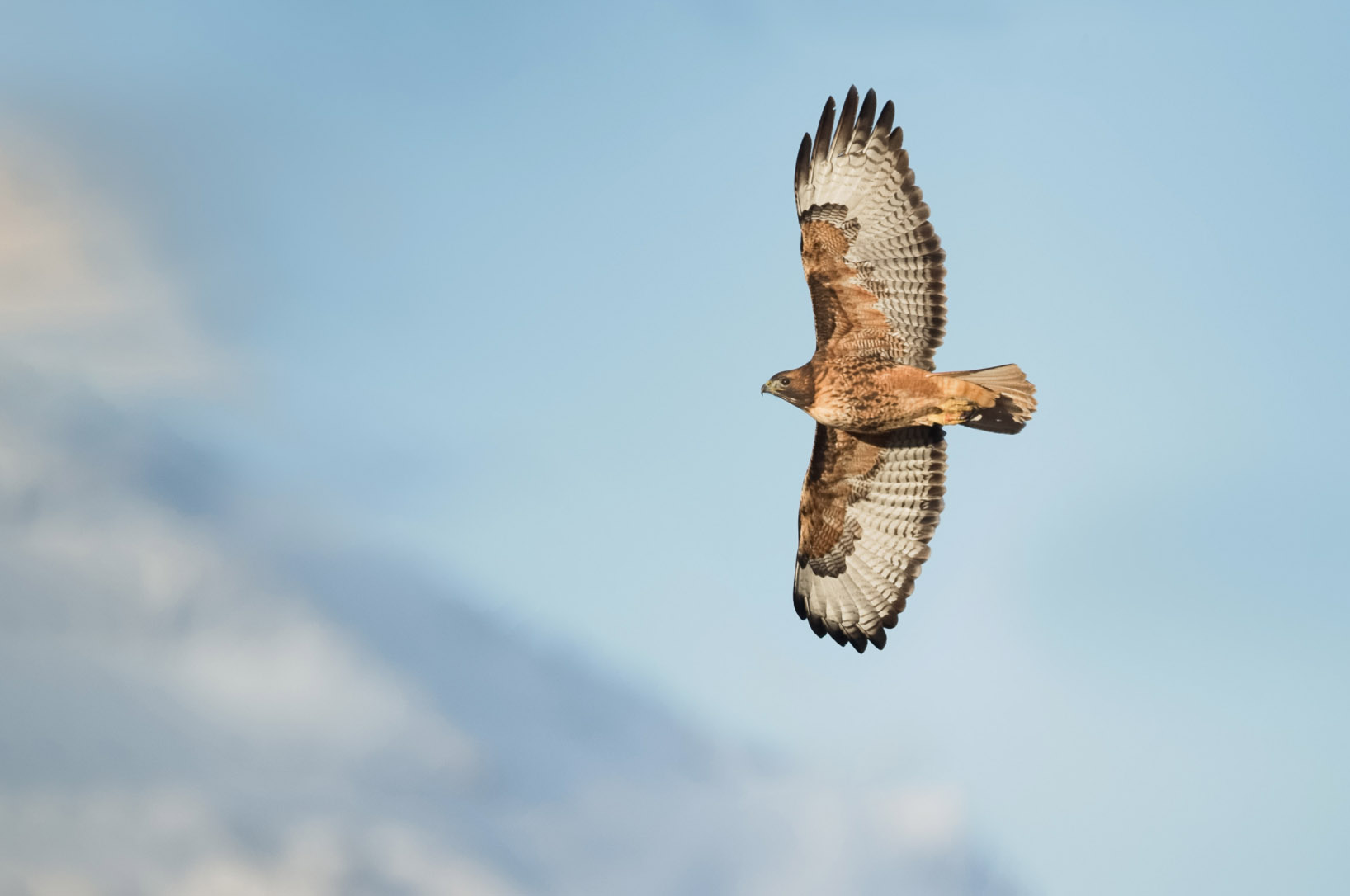 Red-tailed Hawk © Warren Hatch