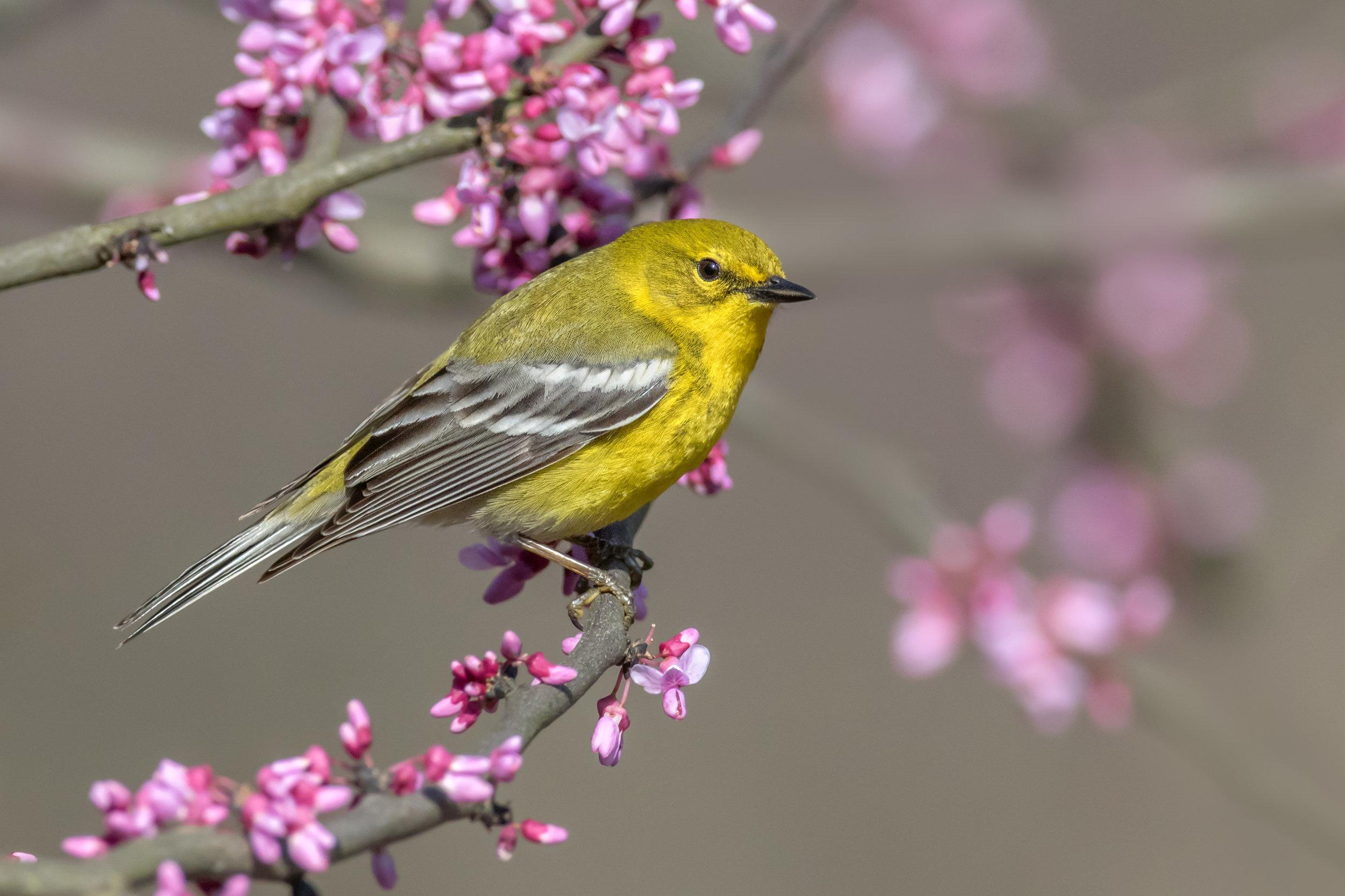 pine_warbler_0R6A7589b.jpg
