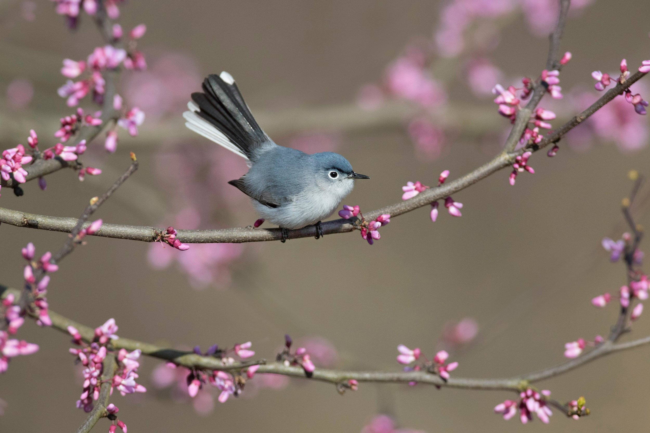 blue-gray_gnatcatcher_0R6A7510b-copy.jpg