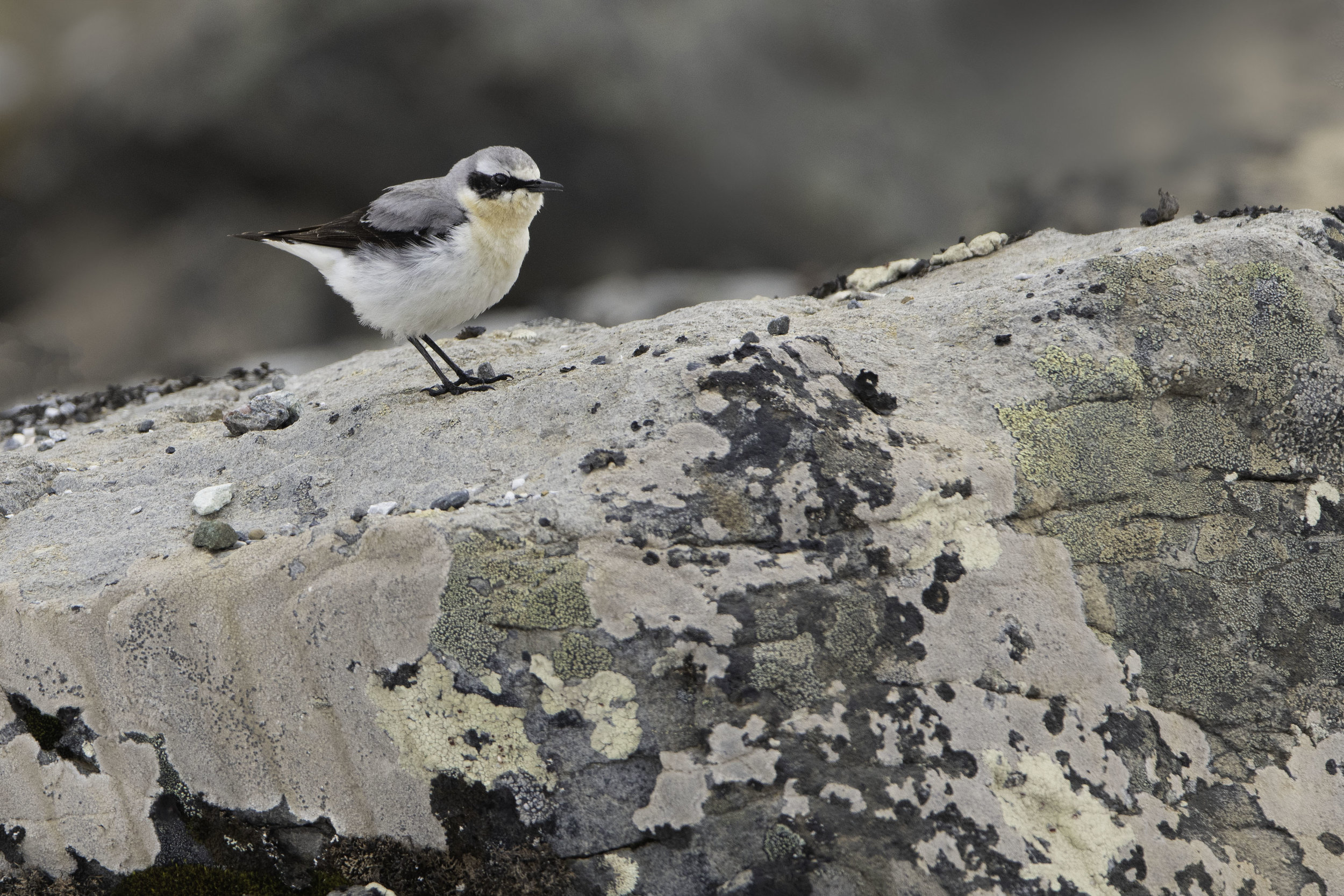 northern_wheatear_9220smaller.jpg